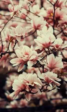 123825 скачать обои Цветы, Магнолия, Ветки, Растение, Цветение, Весна - заставки и картинки бесплатно