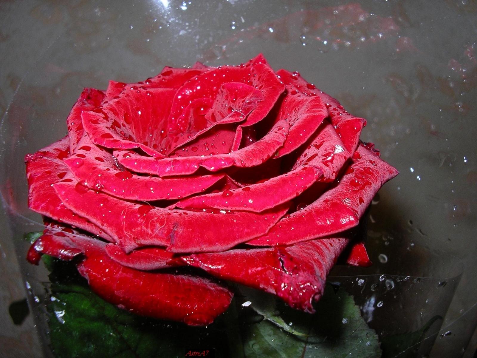 8413 скачать обои Растения, Цветы, Розы - заставки и картинки бесплатно