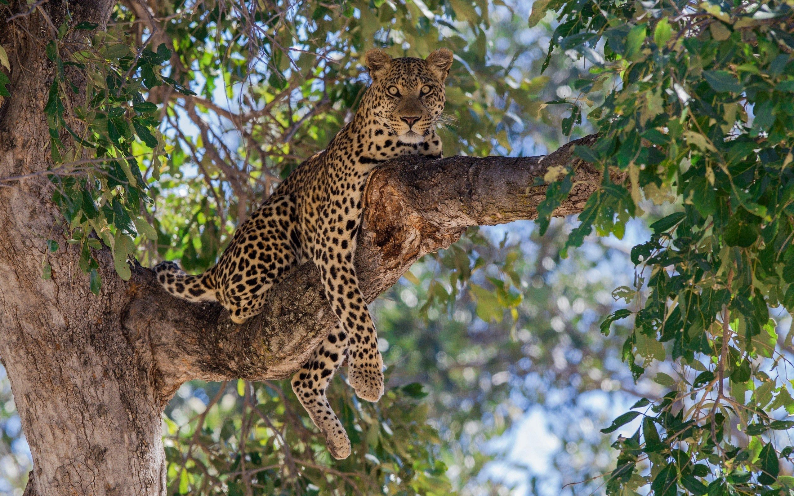 110607 download wallpaper Animals, Leopard, Predator, Wood, Tree, To Lie Down, Lie, Branch screensavers and pictures for free