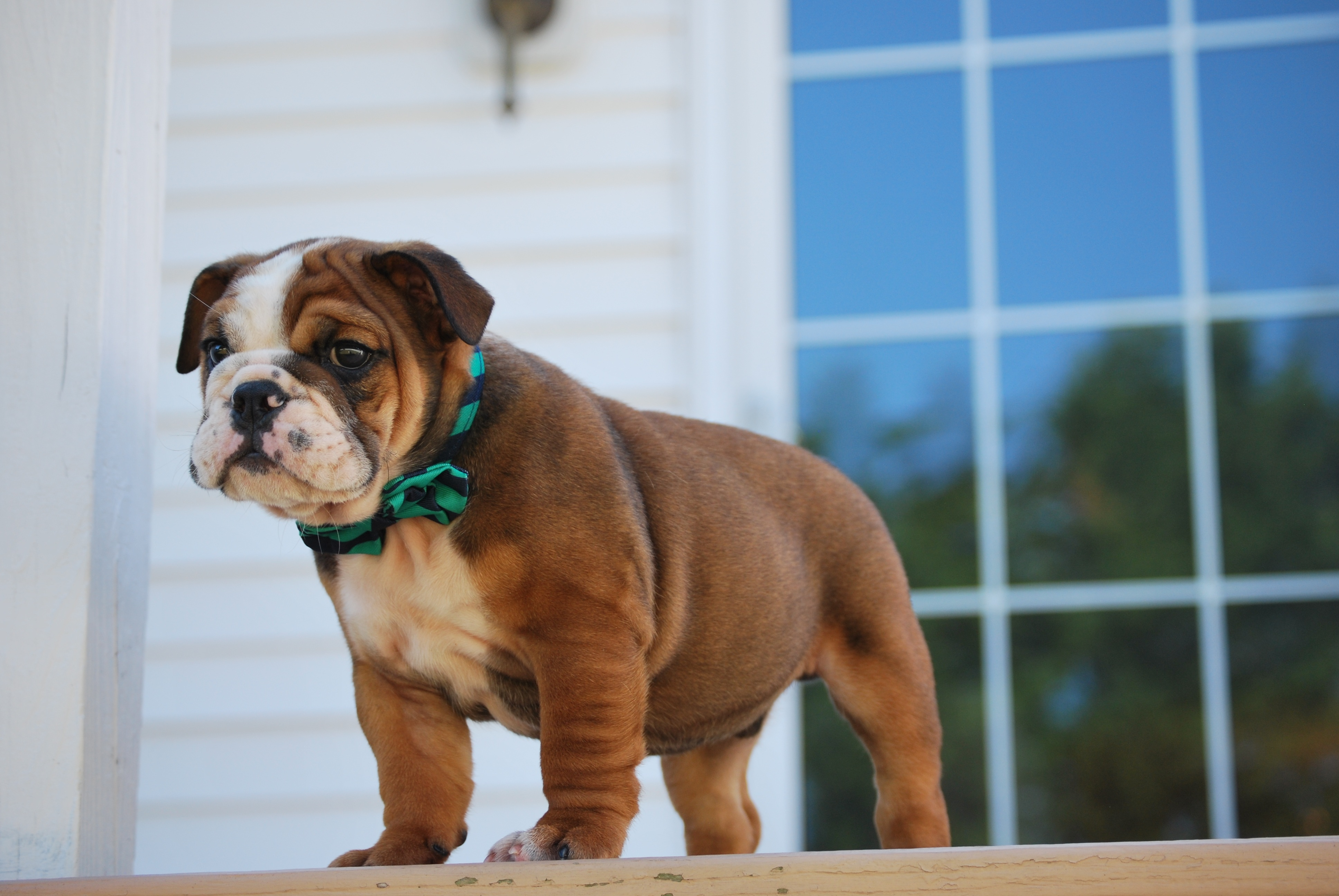 54681 Screensavers and Wallpapers Collar for phone. Download Animals, Puppy, Collar, Bulldog pictures for free