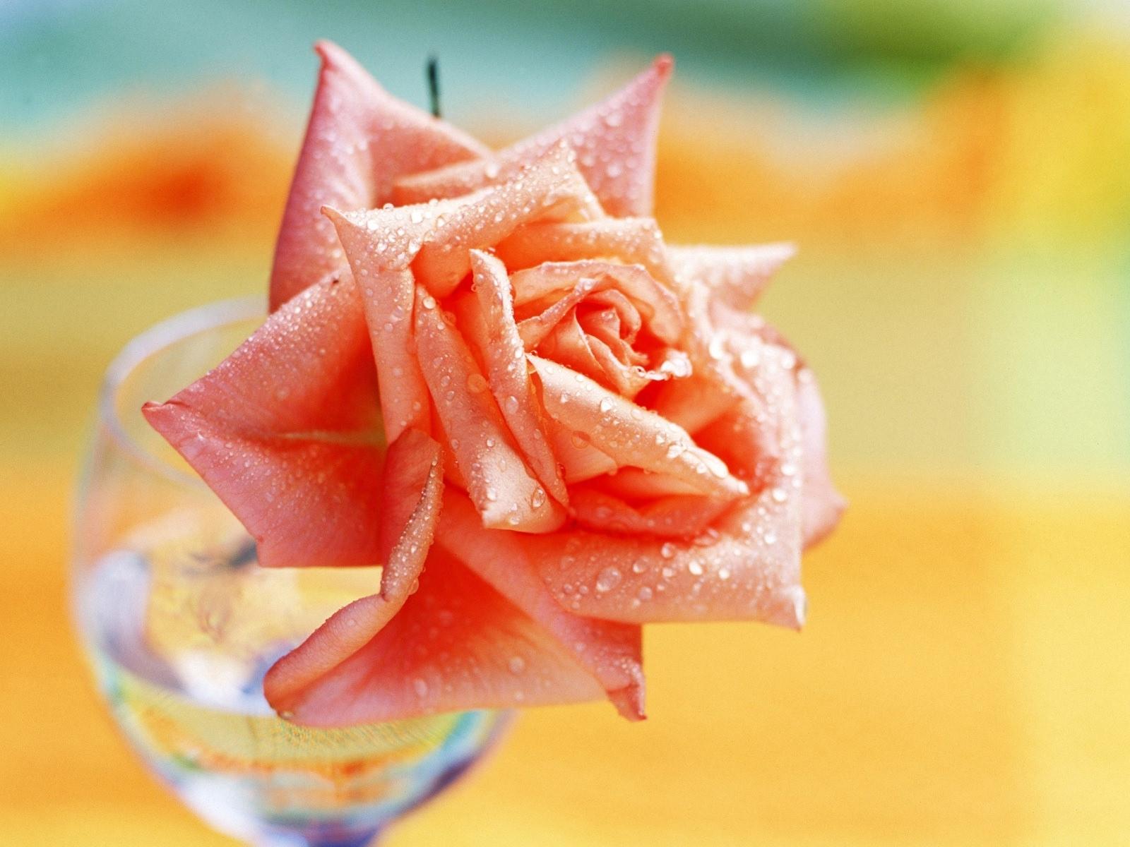 10587 descargar fondo de pantalla Plantas, Flores, Roses: protectores de pantalla e imágenes gratis