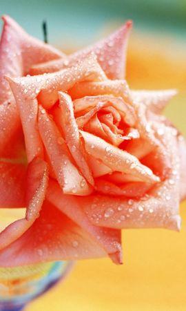 10587 скачать обои Растения, Цветы, Розы - заставки и картинки бесплатно