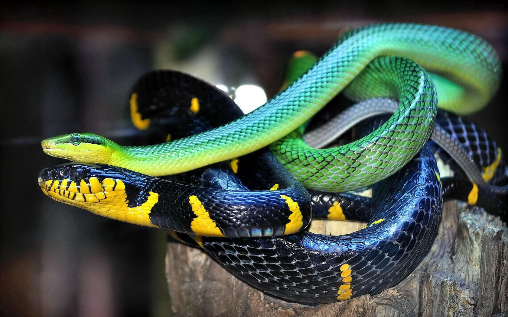 148665 Screensavers and Wallpapers Snake for phone. Download Animals, Color, Snake, Scales, Scale pictures for free