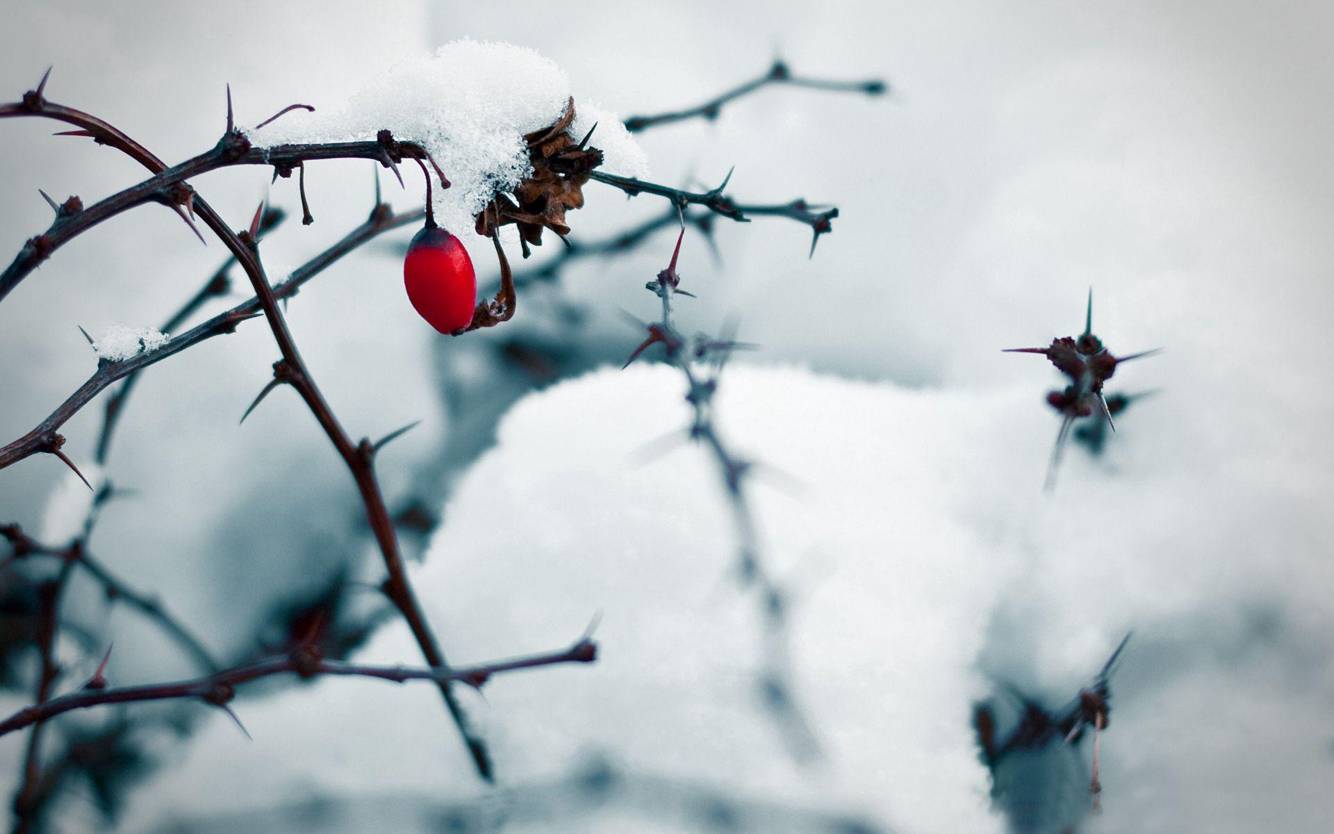 76253 скачать обои Зима, Снег, Шиповник, Макро, Белый - заставки и картинки бесплатно