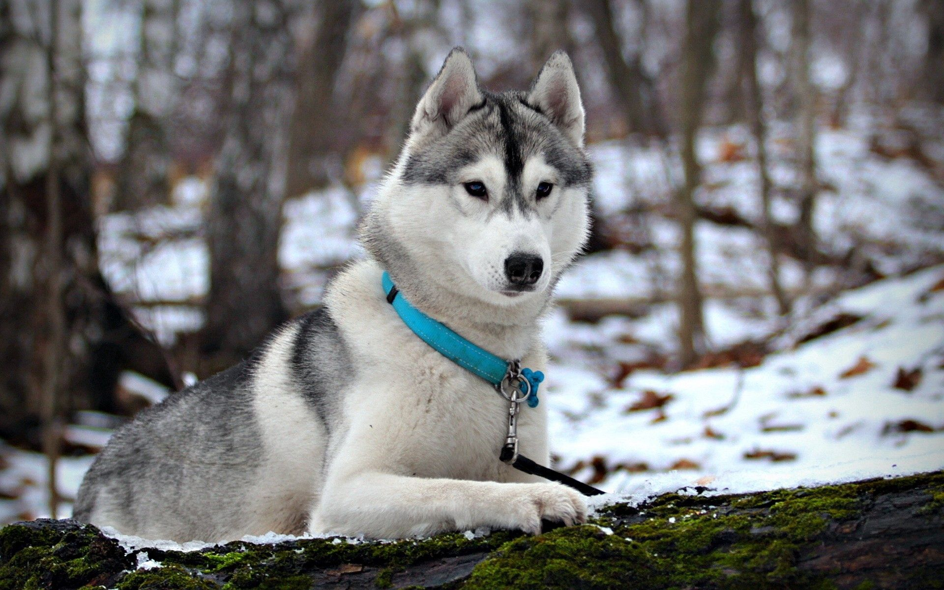 122333 Screensavers and Wallpapers Husky for phone. Download Animals, Snow, Hunting, Hunt, Husky, Collar, Mindfulness, Attentiveness pictures for free