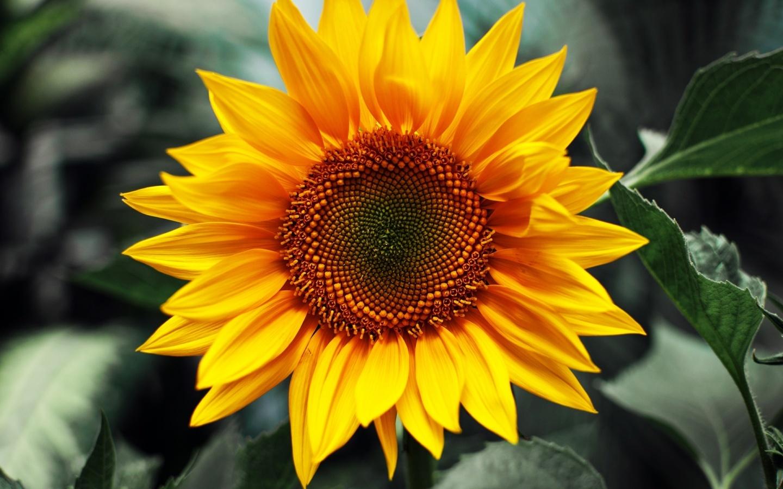 24292 скачать обои Растения, Цветы, Подсолнухи - заставки и картинки бесплатно