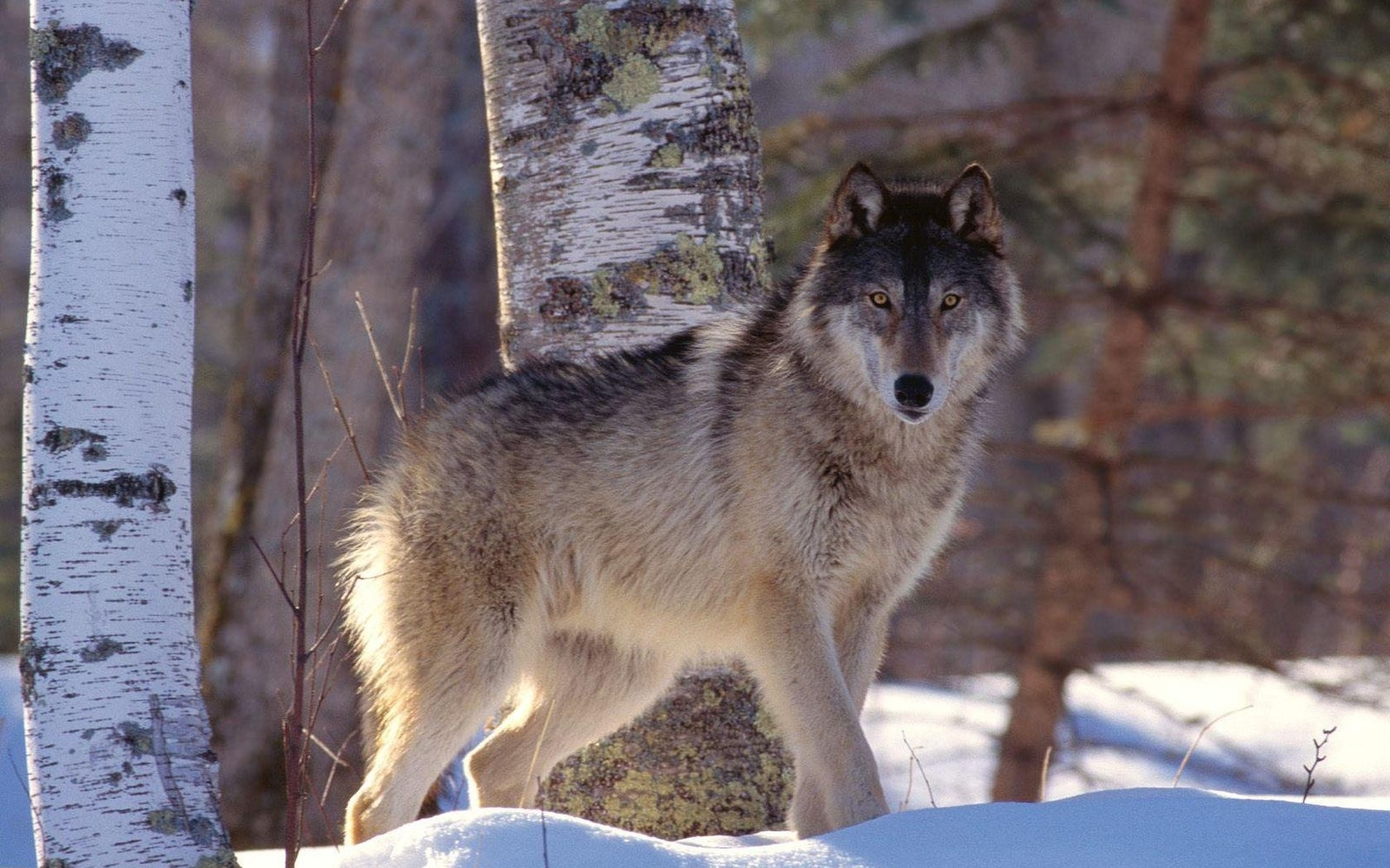 44084 скачать обои Животные, Волки - заставки и картинки бесплатно