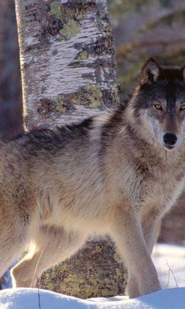 44084 baixar papel de parede Animais, Lobos - protetores de tela e imagens gratuitamente