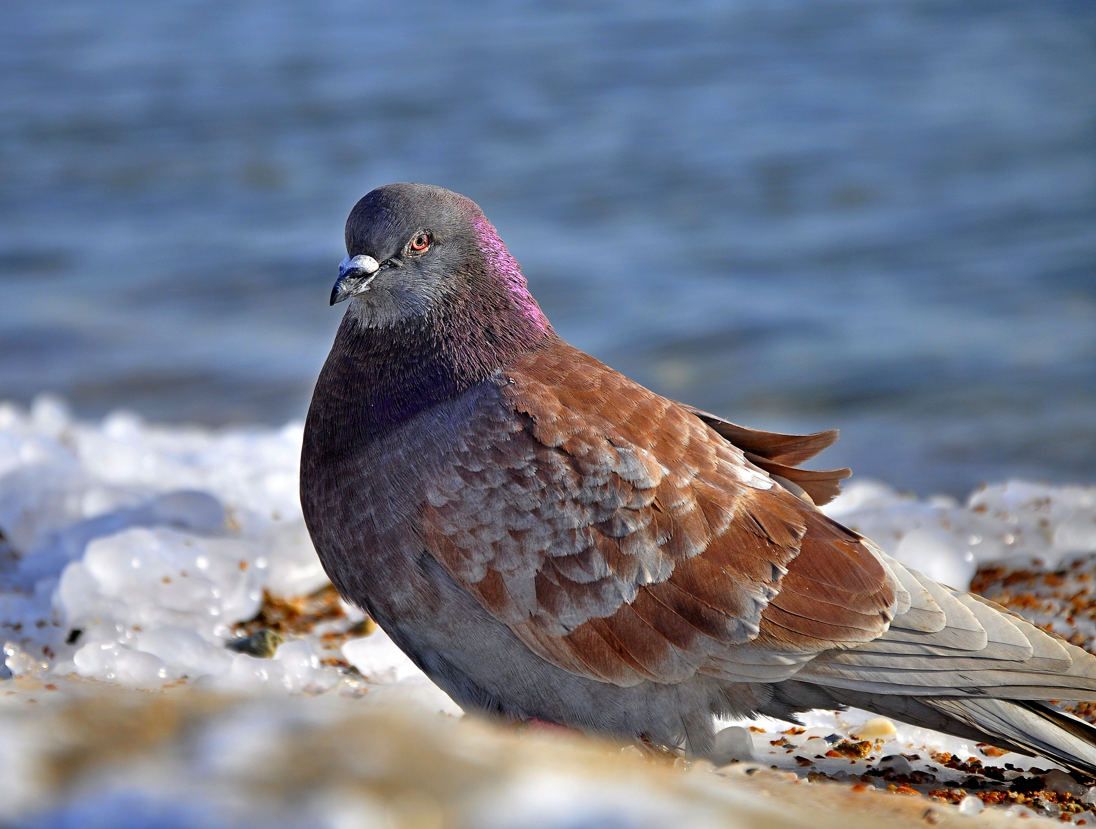 138323 download wallpaper Animals, Dove, Bird, Snow, Ice screensavers and pictures for free