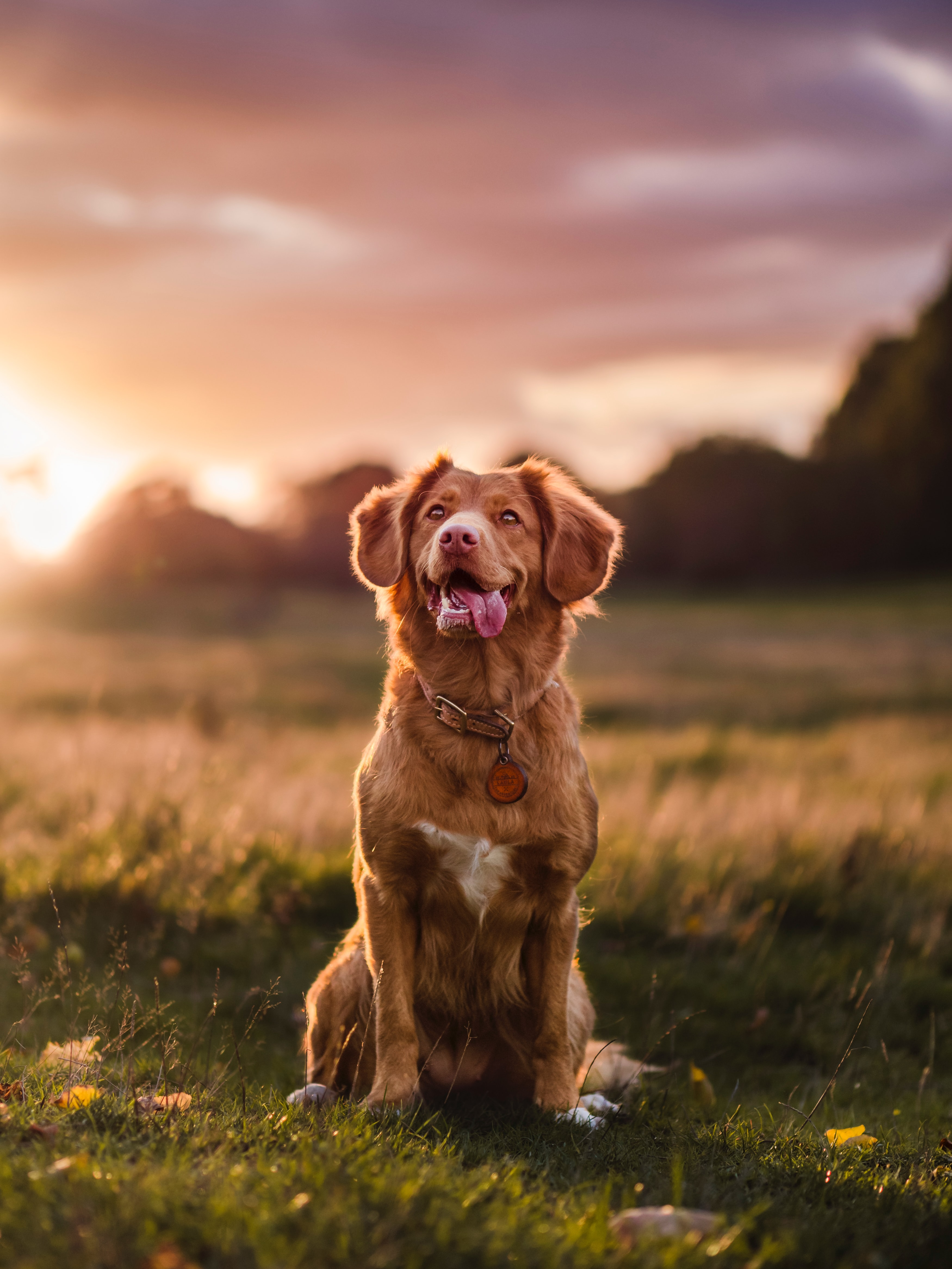 127516 Screensavers and Wallpapers Protruding Tongue for phone. Download Animals, Golden Retriever, Dog, Protruding Tongue, Tongue Stuck Out, Pet, Sight, Opinion pictures for free