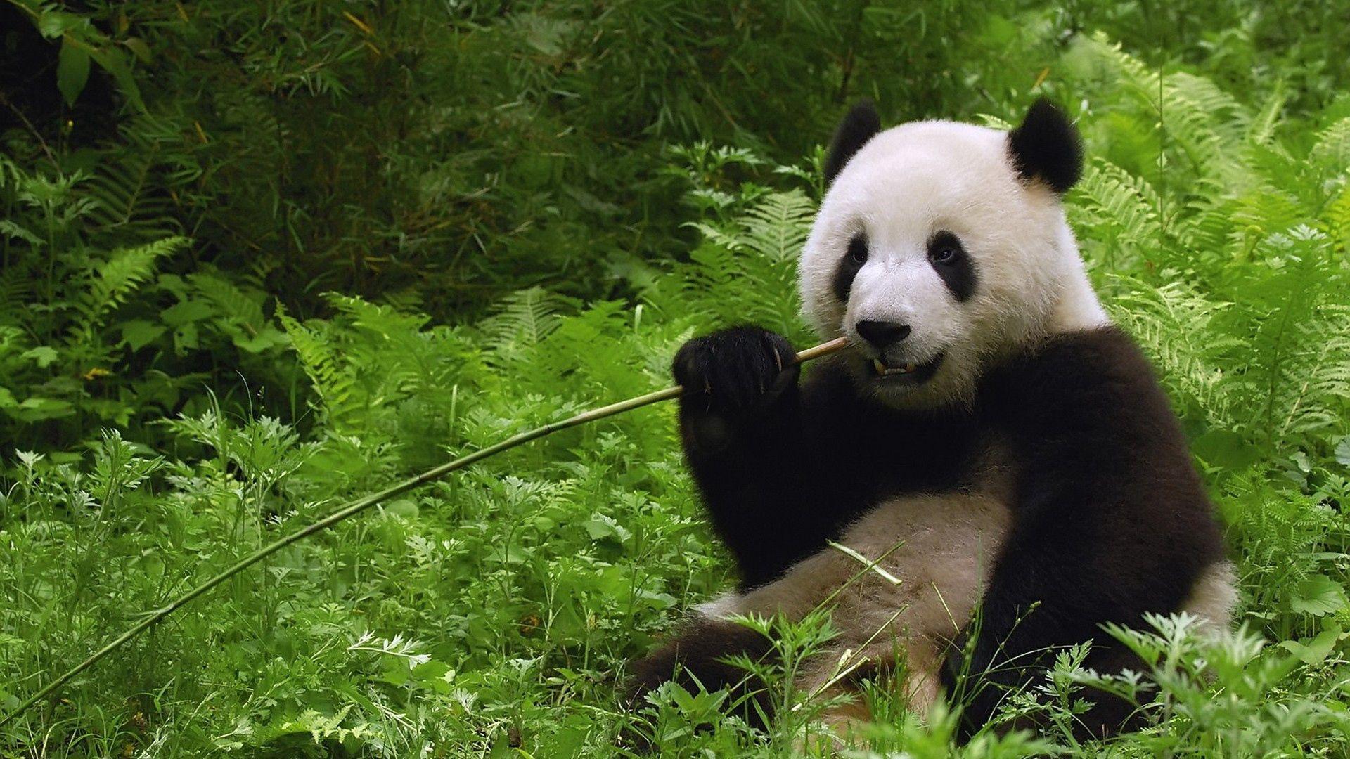 81868 Hintergrundbild herunterladen Tiere, Grass, Bummel, Spaziergang, Stock, Koala, Nagen - Bildschirmschoner und Bilder kostenlos