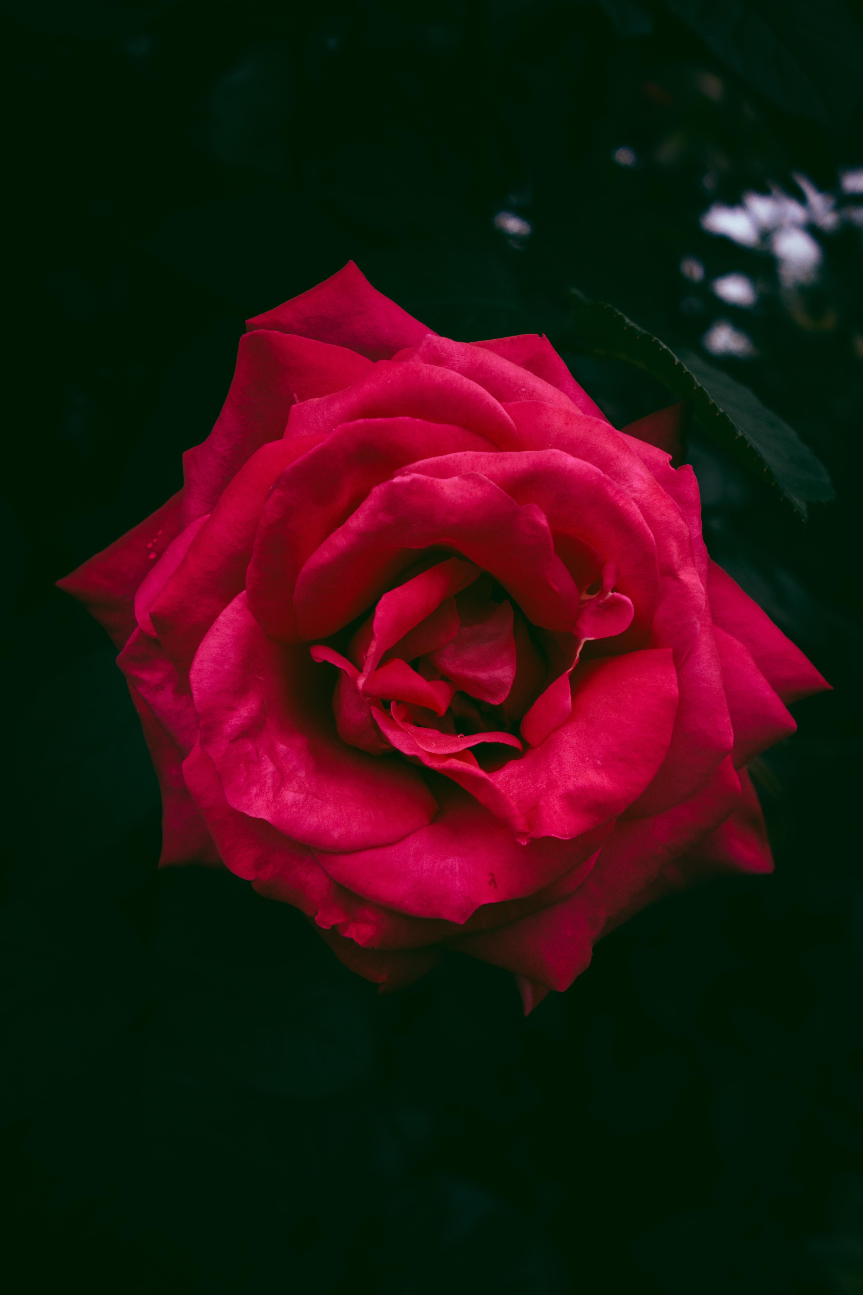 89512 скачать обои Роза, Цветы, Бутон, Красный, Куст - заставки и картинки бесплатно