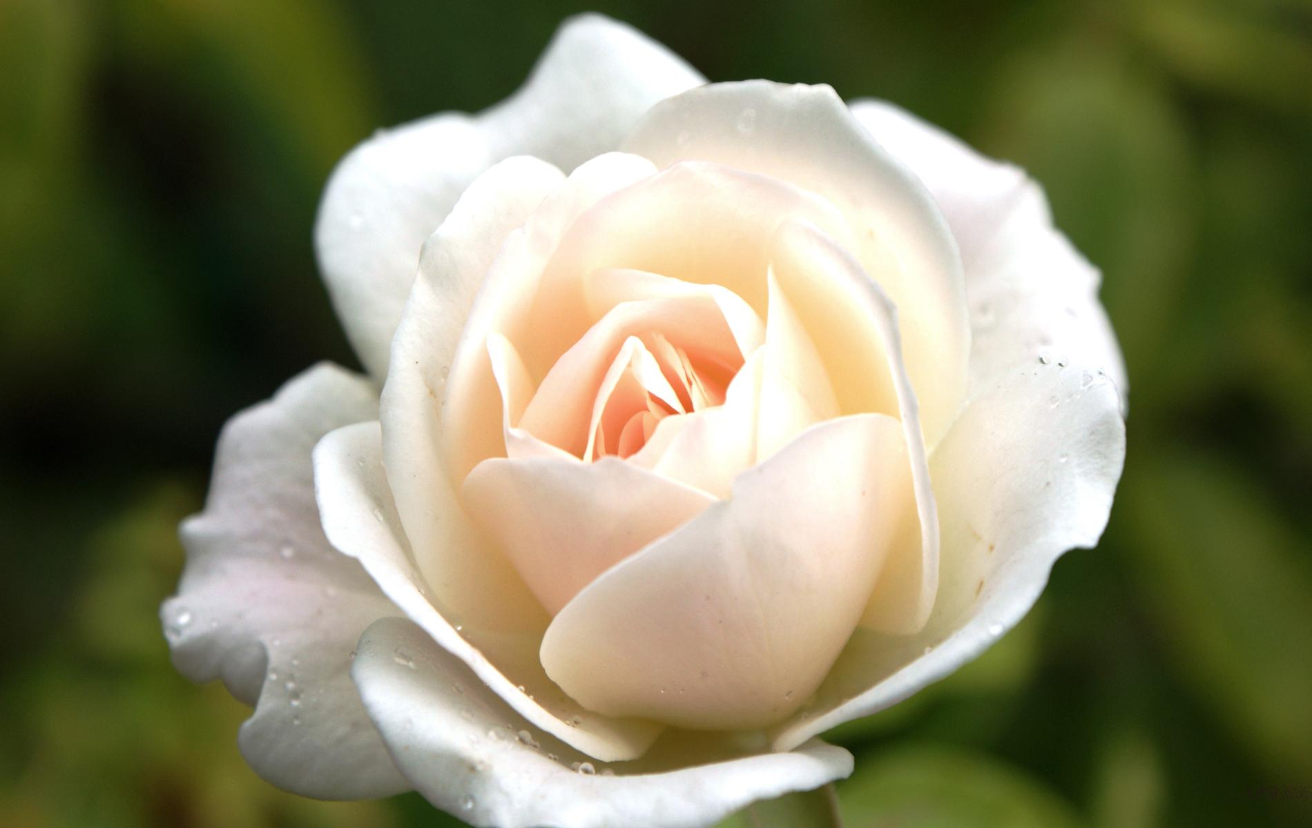 3139 скачать обои Растения, Цветы, Розы - заставки и картинки бесплатно
