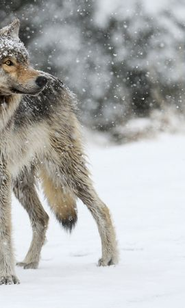 95929 download wallpaper Animals, Wolf, Snow, Winter, Predator screensavers and pictures for free