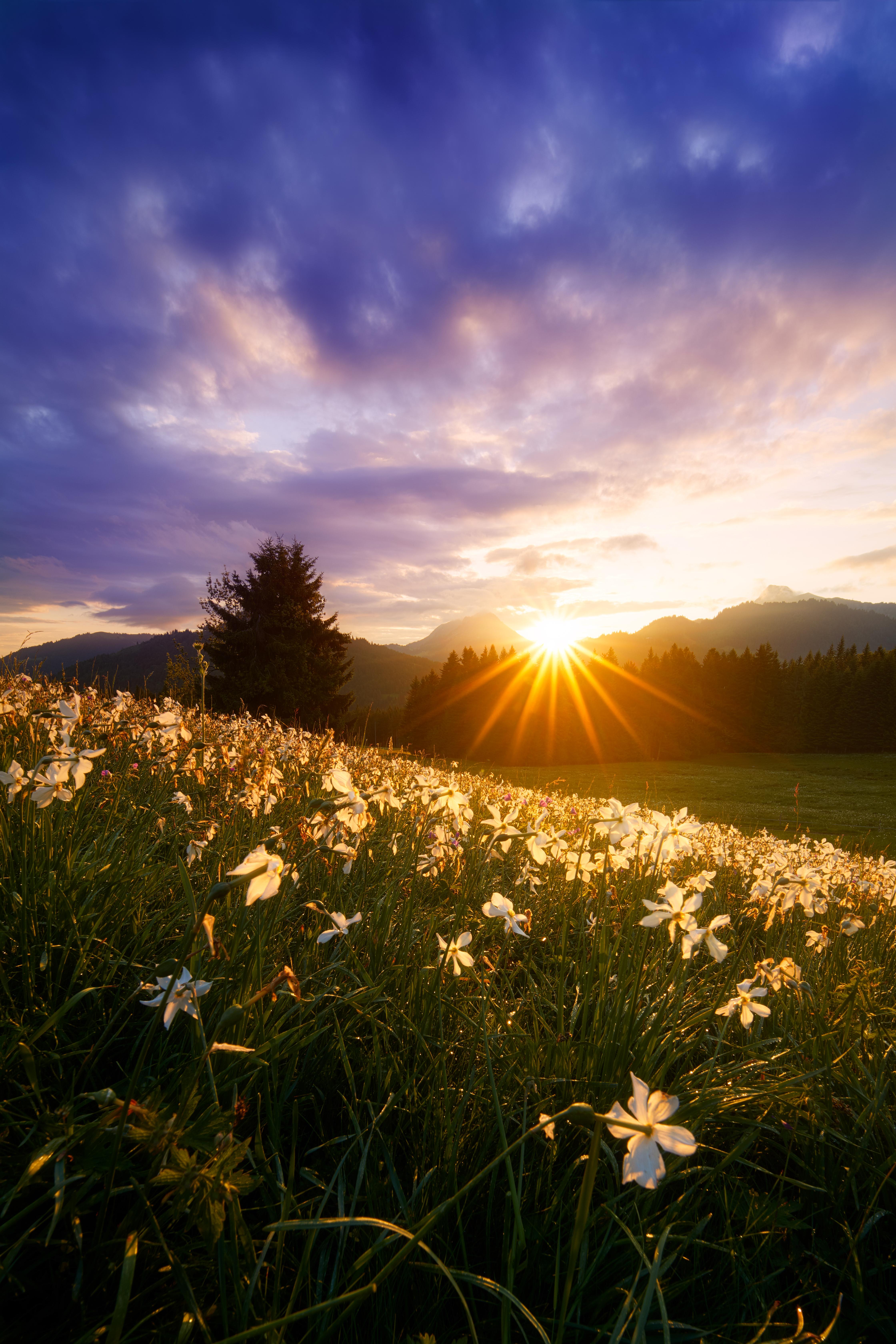 157152 Заставки и Обои Нарциссы на телефон. Скачать Природа, Цветы, Трава, Солнце, Нарциссы, Лучи картинки бесплатно