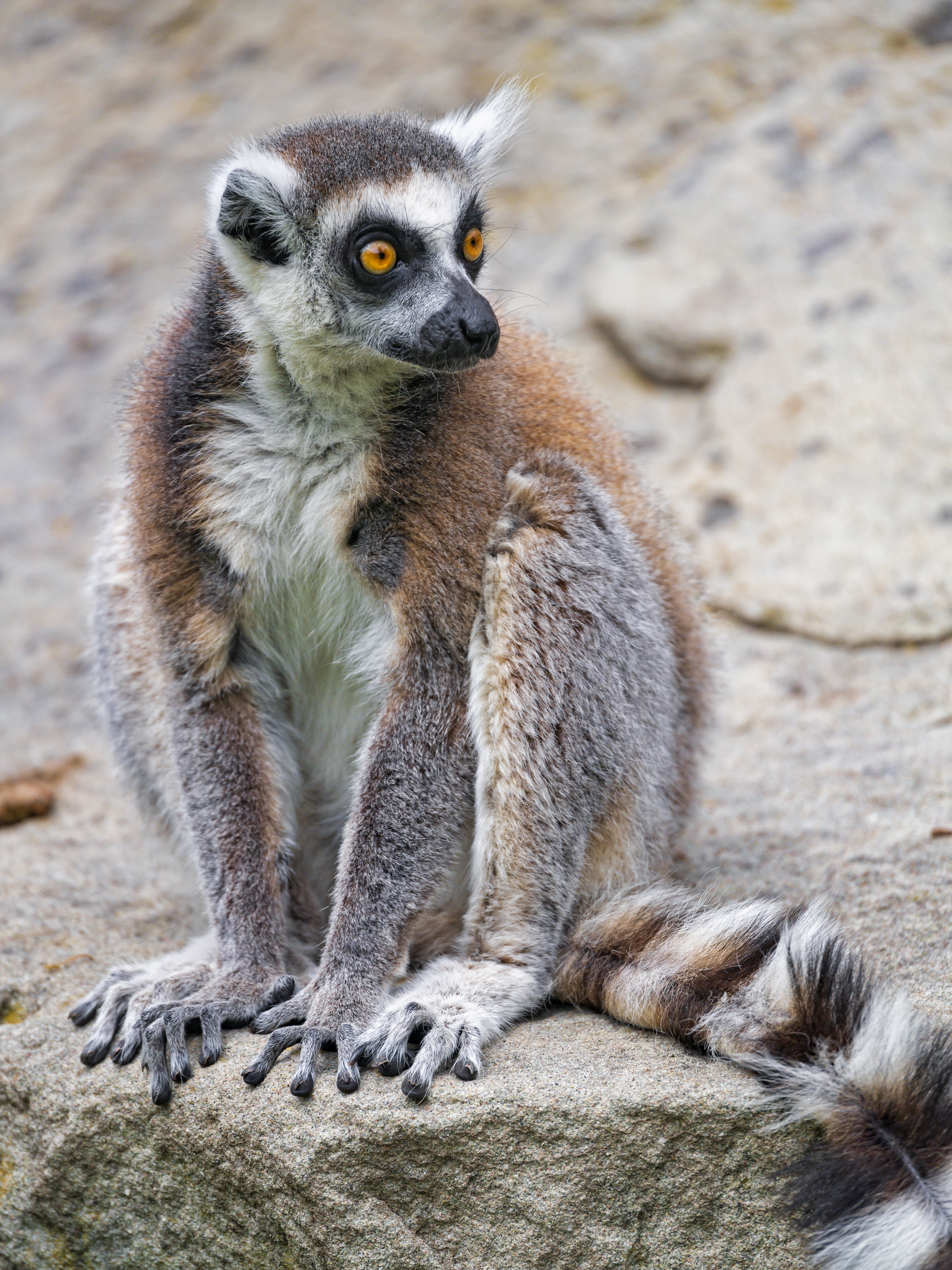 127889 download wallpaper Animals, Lemur, Sight, Opinion, Animal, Fluffy screensavers and pictures for free