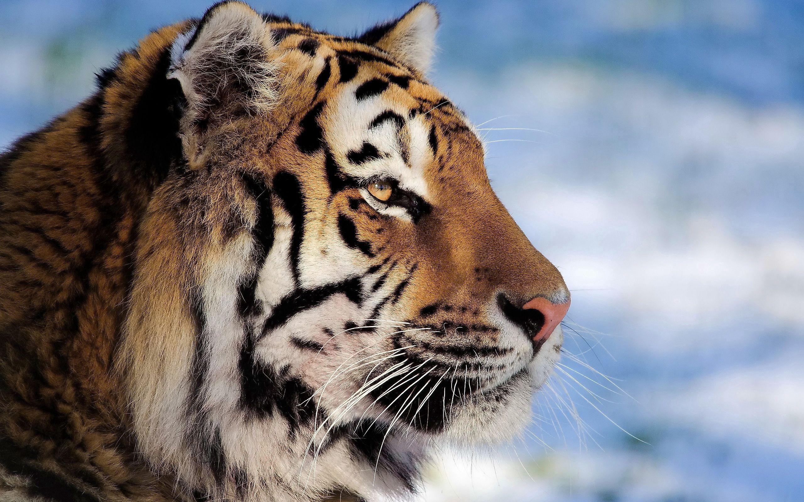 142045 скачать обои Животные, Тигр, Морда, Профиль - заставки и картинки бесплатно