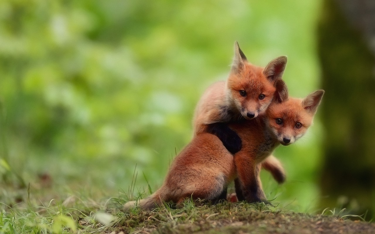 20364 download wallpaper Animals, Fox screensavers and pictures for free
