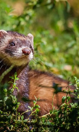 149417 download wallpaper Animals, Ferret, Polecat, Grass, Sit, Peek Out, Look Out screensavers and pictures for free