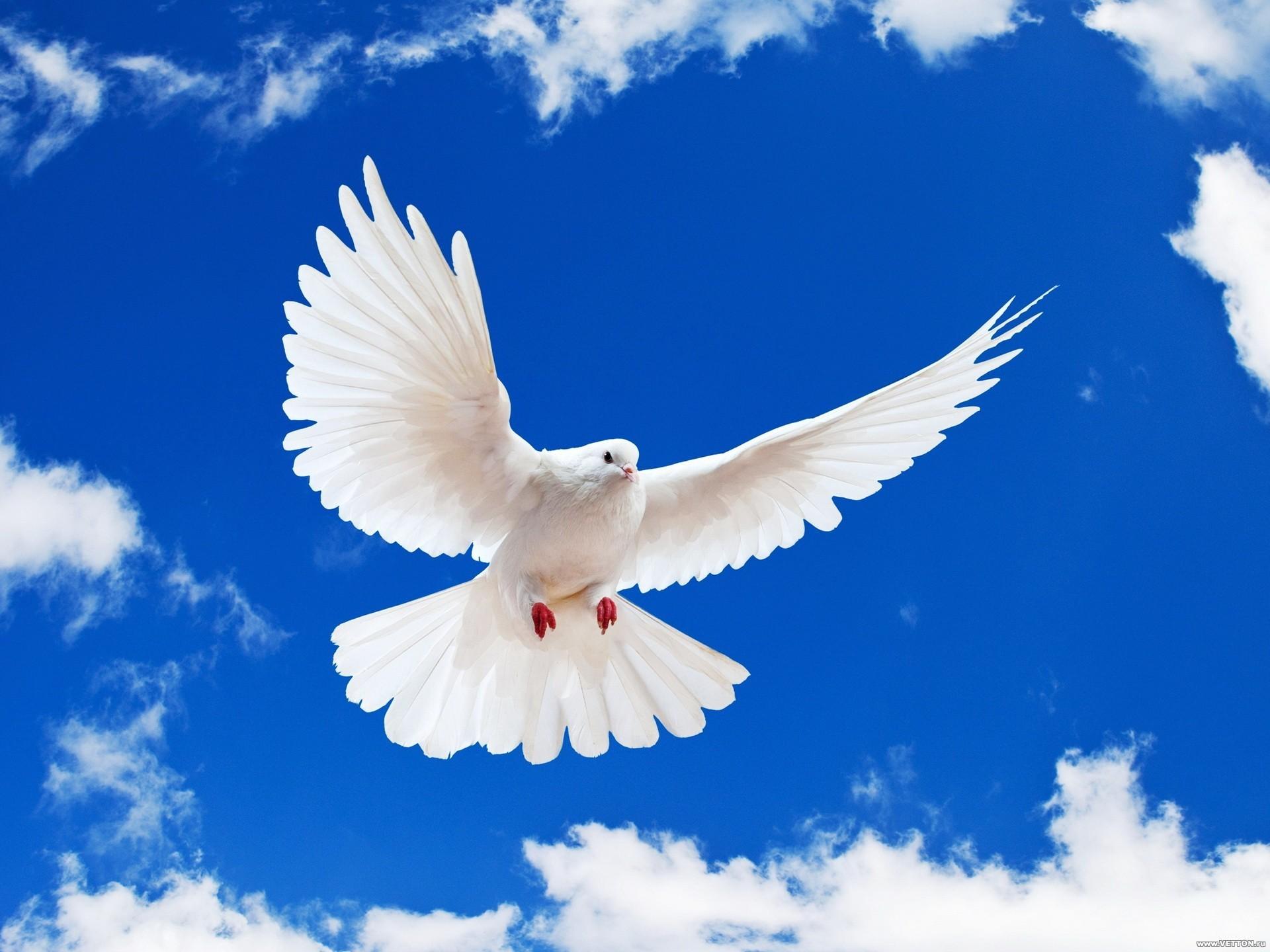 19307 скачать обои Птицы, Голуби, Животные, Небо - заставки и картинки бесплатно