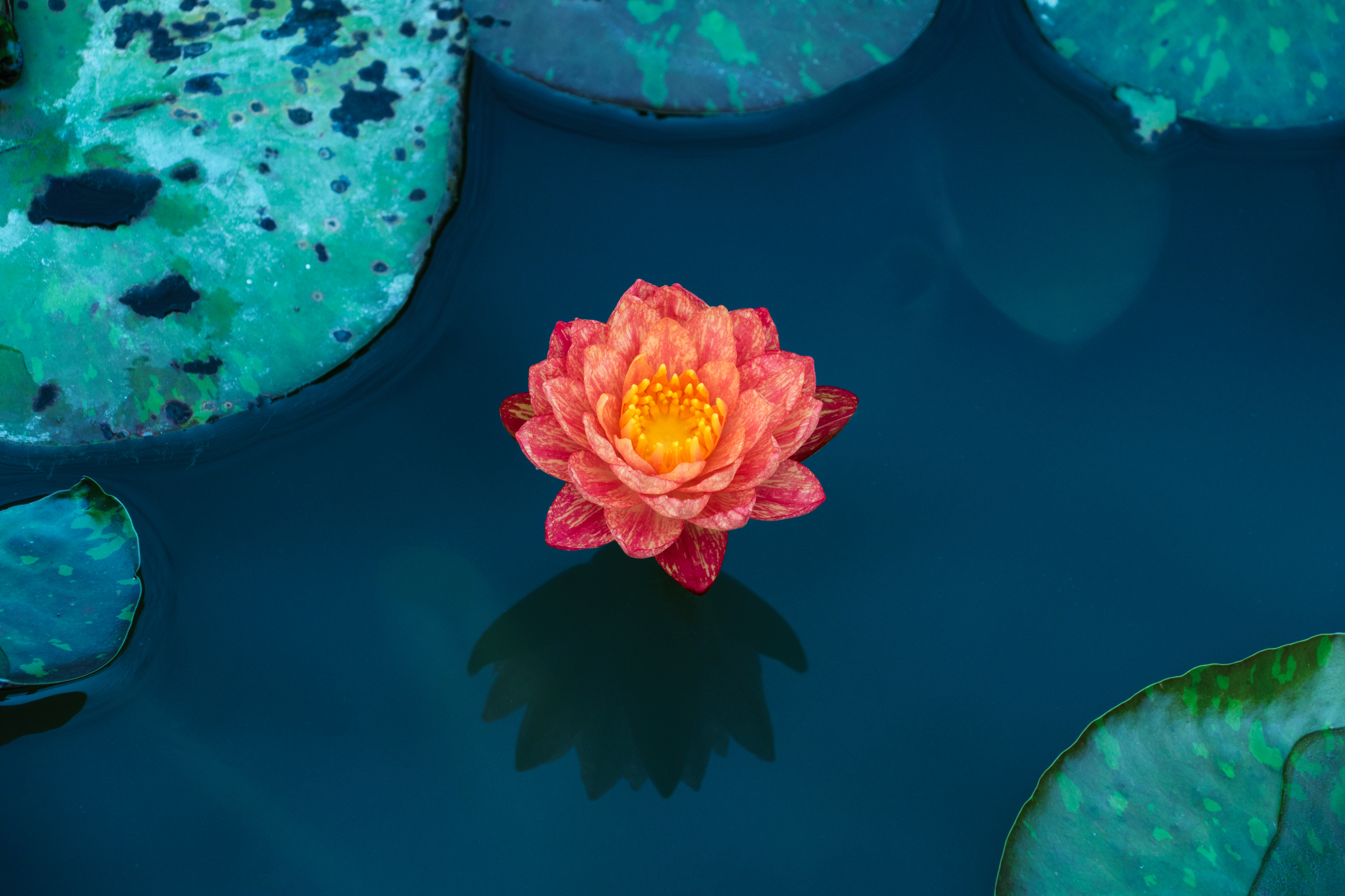 106190 Screensavers and Wallpapers Petals for phone. Download Flowers, Water, Leaves, Lotus, Petals, Water Lily pictures for free