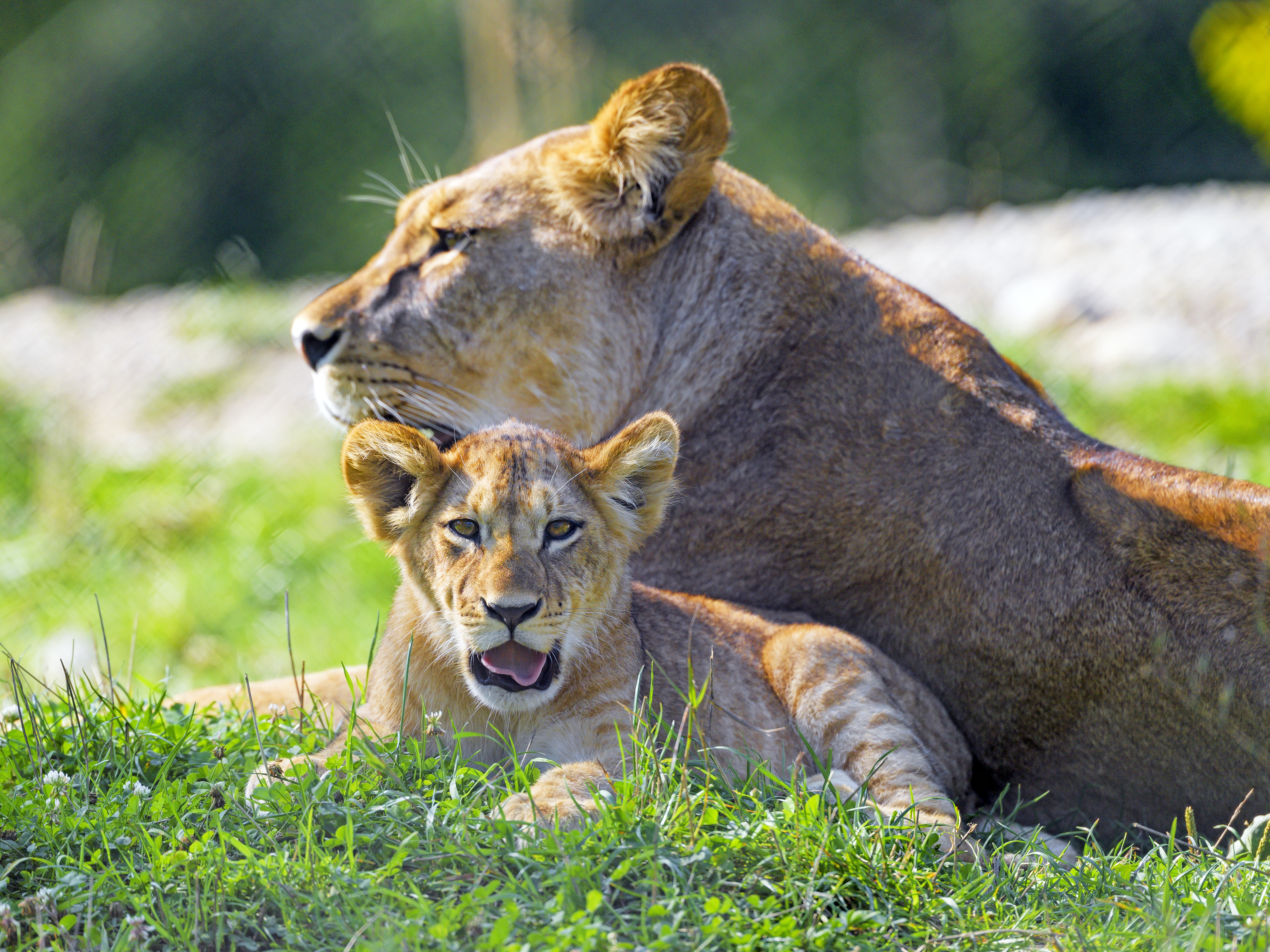 109782 download wallpaper Animals, Lioness, Lion Cub, Lion, Big Cat, Predator, Protruding Tongue, Tongue Stuck Out screensavers and pictures for free