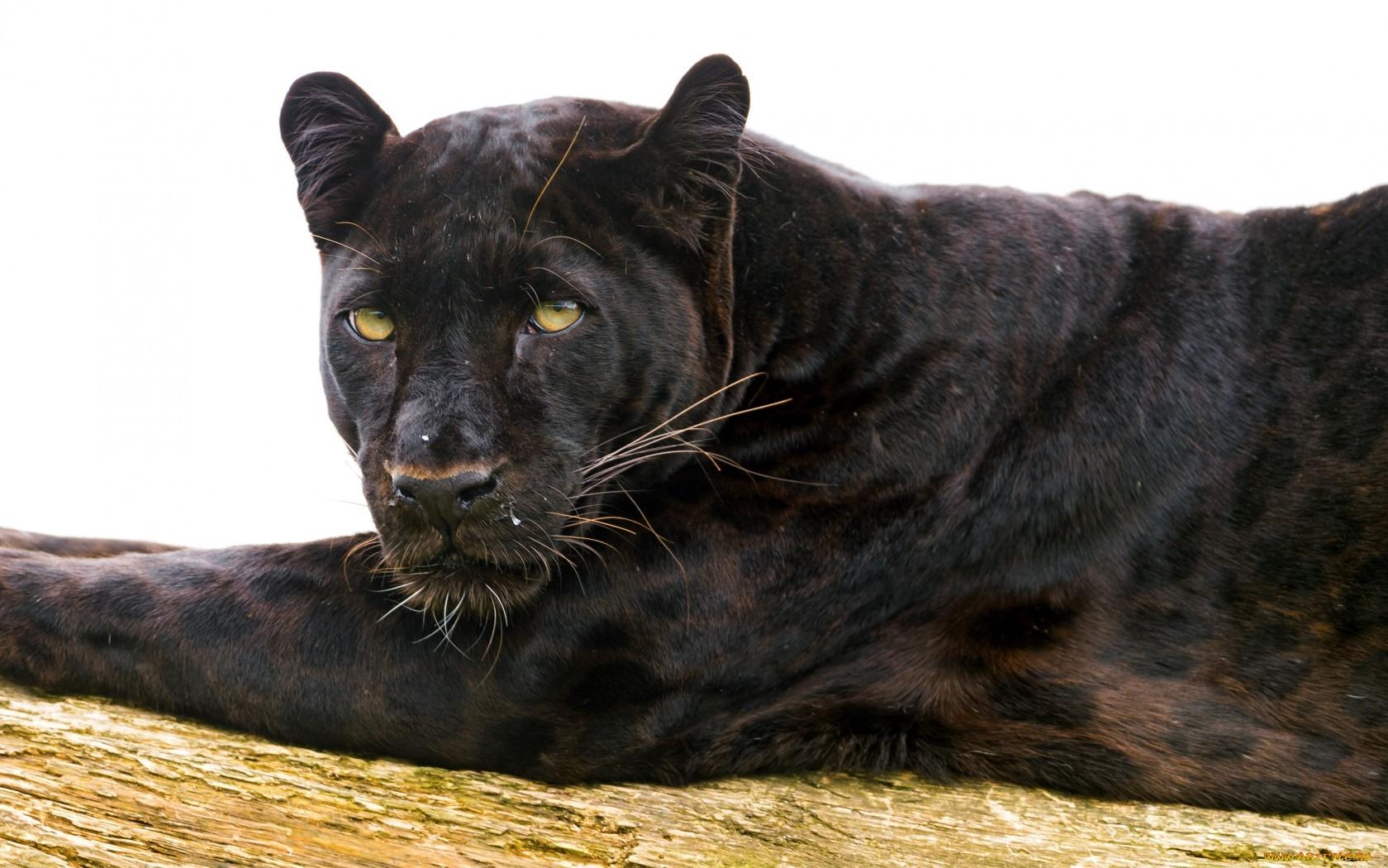 20007 скачать обои Пантеры, Животные - заставки и картинки бесплатно