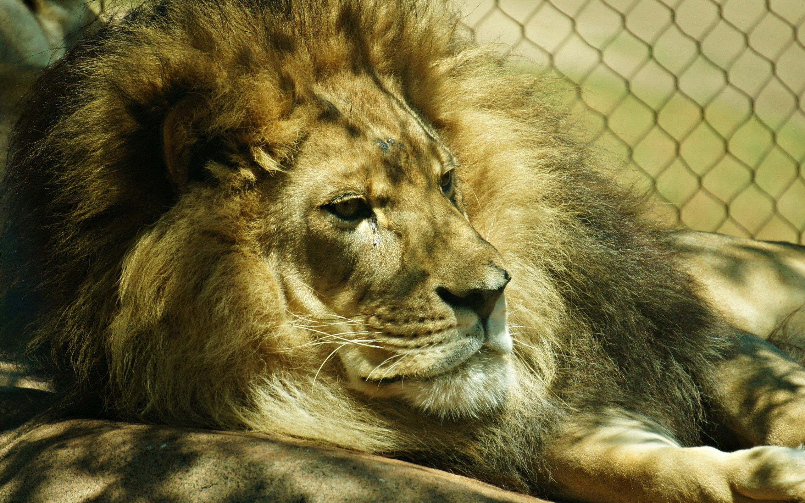 81495 download wallpaper Animals, Lion, Grid, Mane screensavers and pictures for free