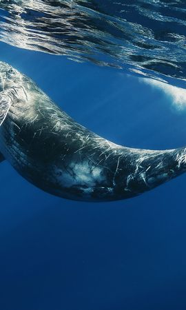 21678 download wallpaper Animals, Sea, Whales screensavers and pictures for free