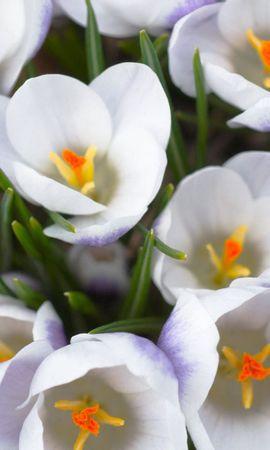 136943 скачать Белые обои на телефон бесплатно, Цветы, Крокусы, Распущенные, Тычинки, Крупный План Белые картинки и заставки на мобильный