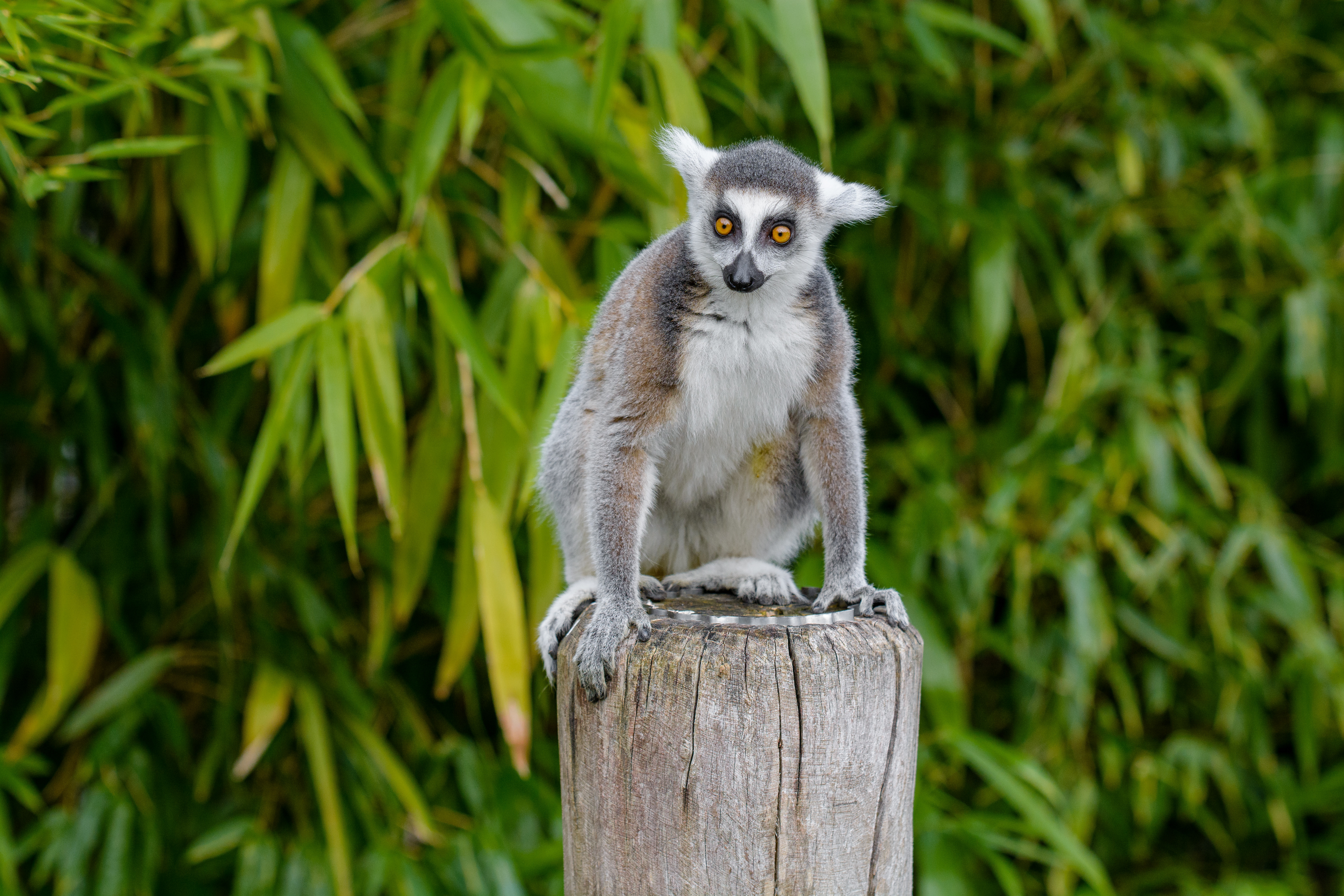 106764 download wallpaper Animals, Lemur, Animal, Nice, Sweetheart screensavers and pictures for free
