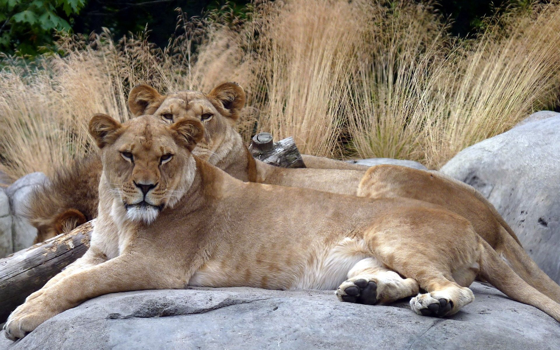106231 download wallpaper Animals, Couple, Pair, Stones, To Lie Down, Lie, Grass, Lions screensavers and pictures for free