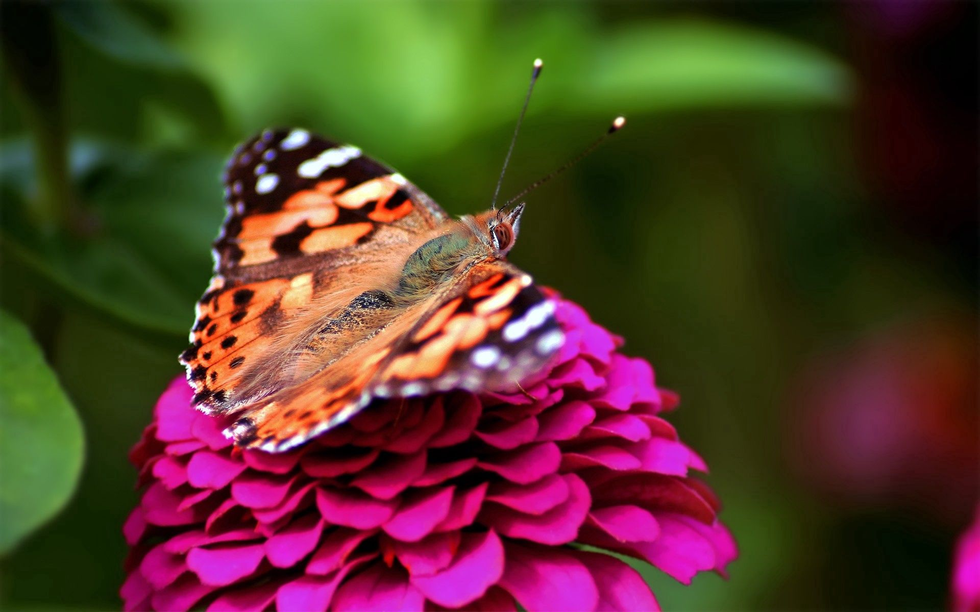 80028 Screensavers and Wallpapers Butterfly for phone. Download Pink, Macro, Spotted, Butterfly pictures for free