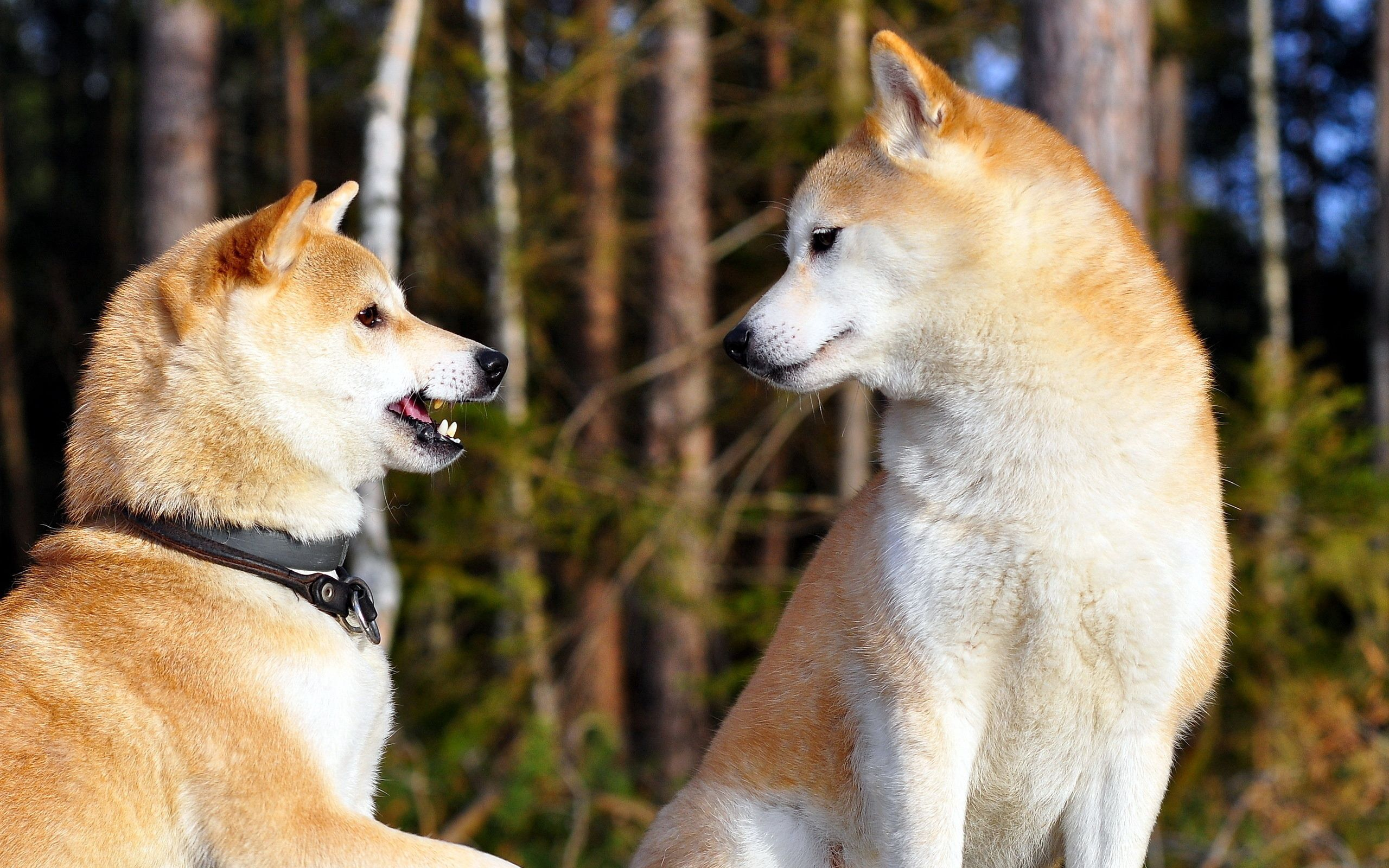 106843 download wallpaper Animals, Akita Inu, Couple, Pair, Dogs, Entertainment screensavers and pictures for free