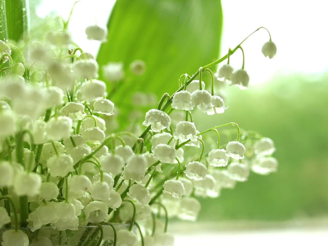34988 скачать обои Растения, Цветы, Ландыши - заставки и картинки бесплатно