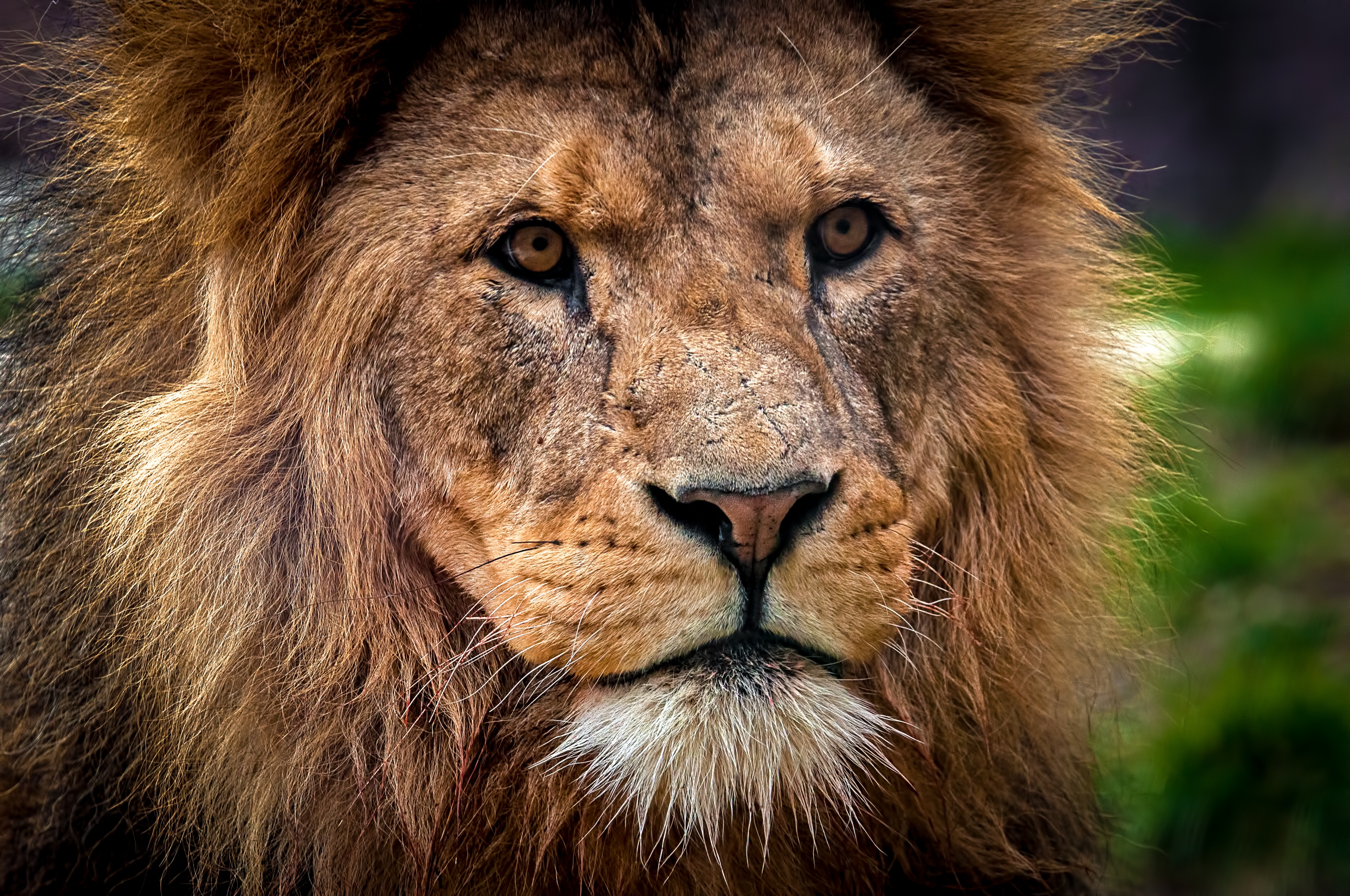 152488 baixar papel de parede Animais, Leão, Focinho, Fechar-Se, Close-Up, Um Leão, Predator, Predador, Rei Das Feras, Rei Das Bestas - protetores de tela e imagens gratuitamente