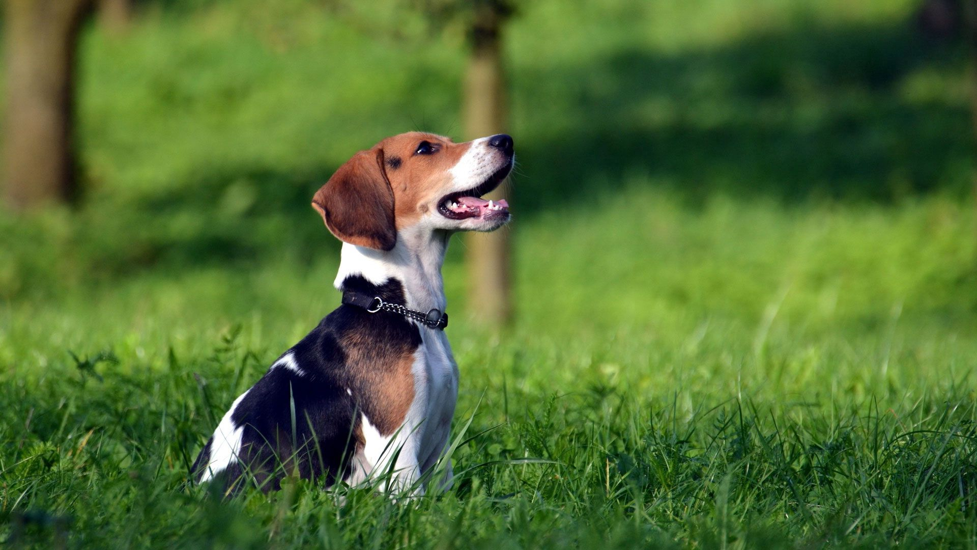 77356 download wallpaper Animals, Beagle, Puppy, Grass, Collar, Expectation, Waiting screensavers and pictures for free