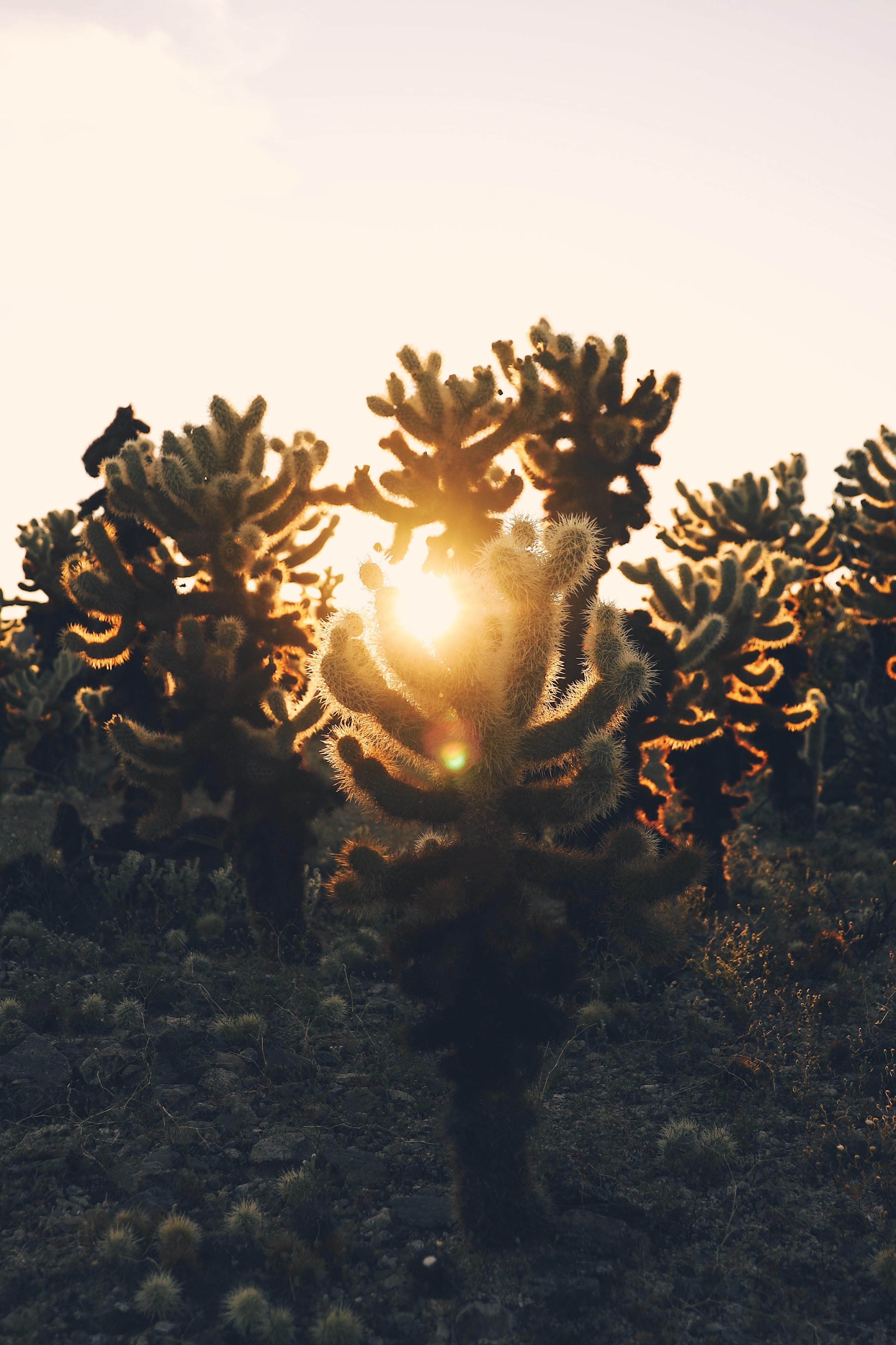 141023 Заставки и Обои Кактусы на телефон. Скачать Природа, Кактусы, Закат, Пустыня, Солнечный Свет картинки бесплатно