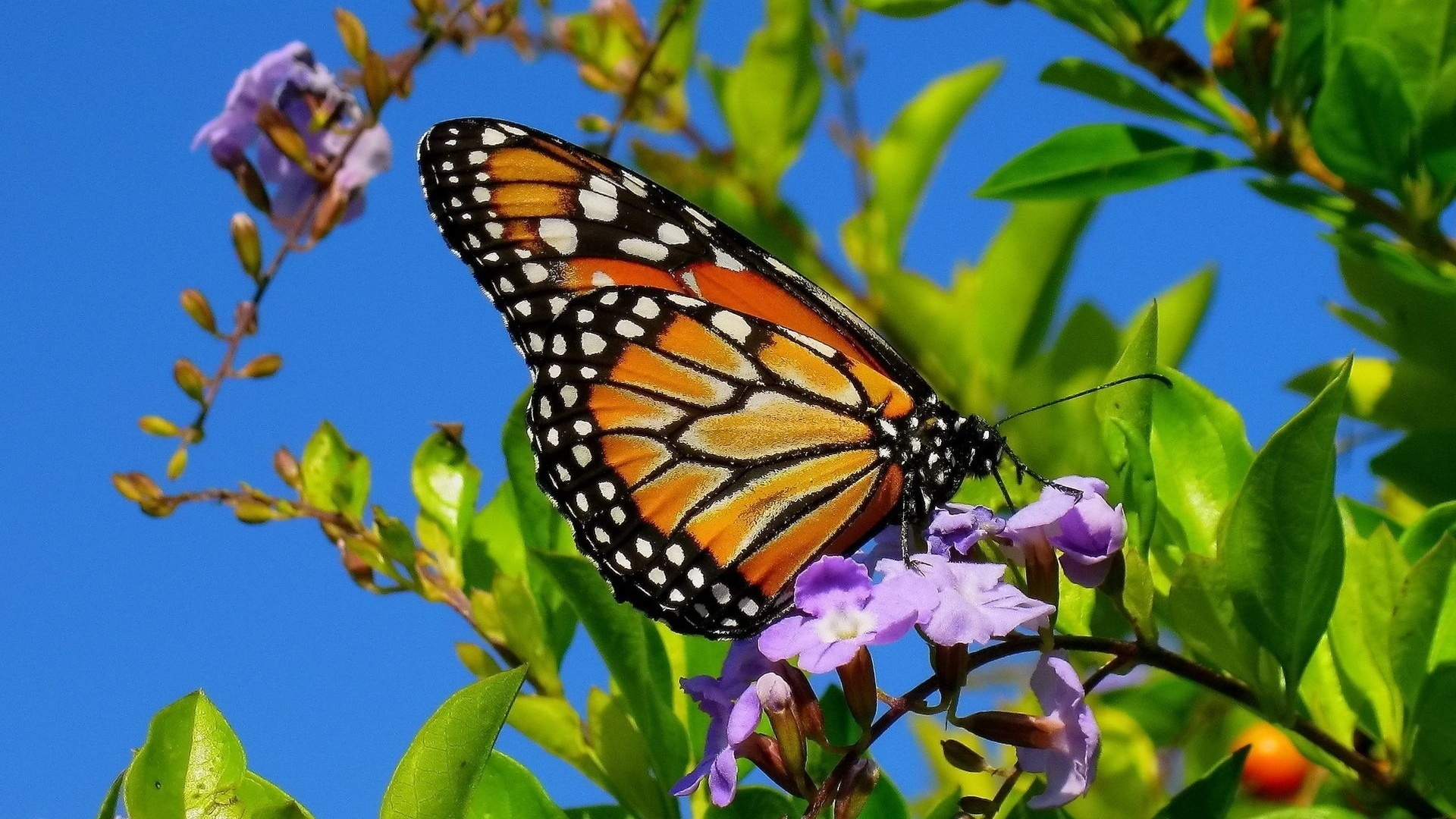 43016 download wallpaper Butterflies, Insects screensavers and pictures for free