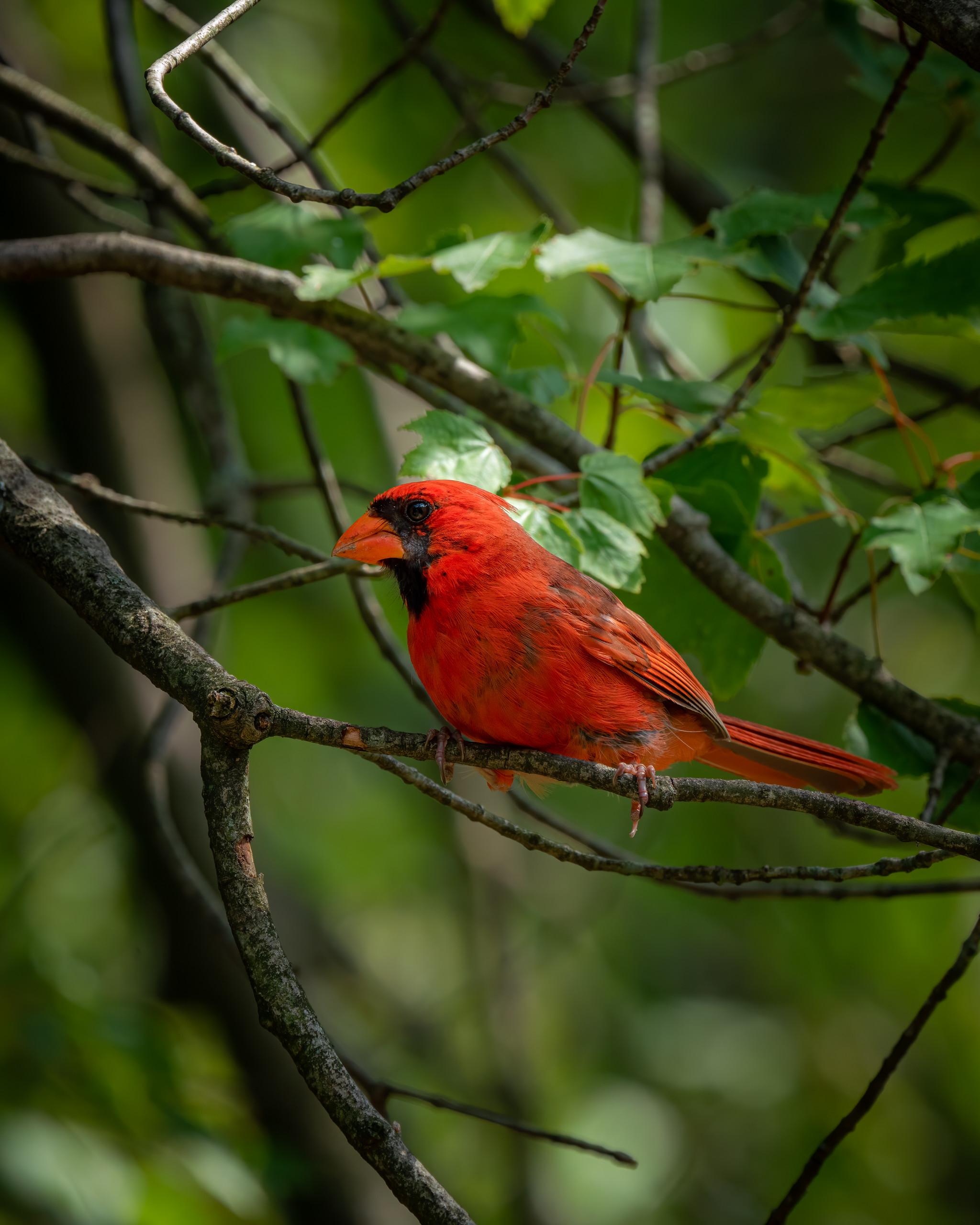 155627 скачать обои Животные, Красный Кардинал, Птица, Яркий, Ветка, Листья - заставки и картинки бесплатно