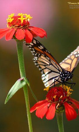 19277 скачать обои Растения, Бабочки, Цветы, Насекомые - заставки и картинки бесплатно