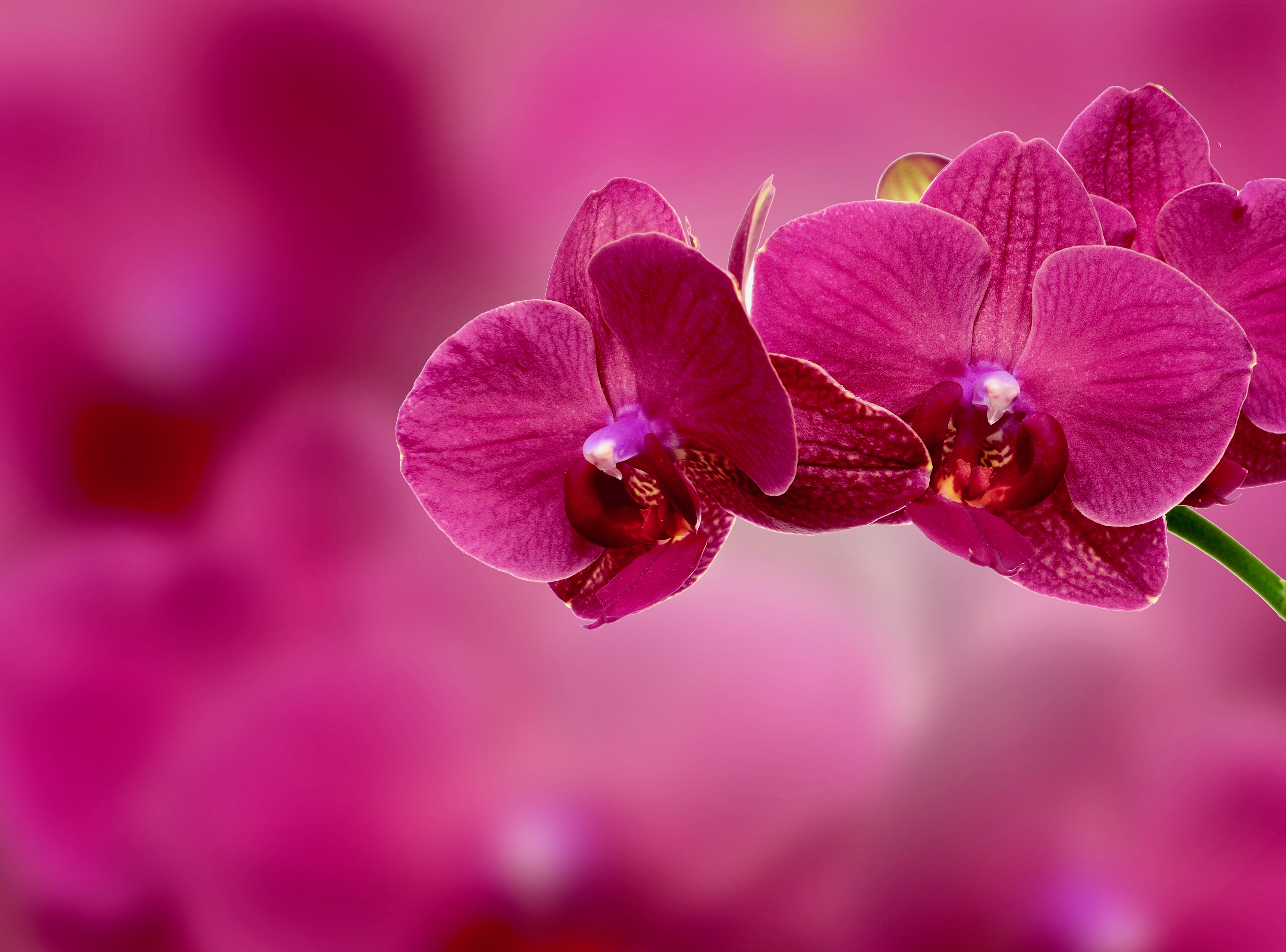 154647 Screensavers and Wallpapers Petals for phone. Download Flowers, Pink, Flower, Petals, Orchid pictures for free