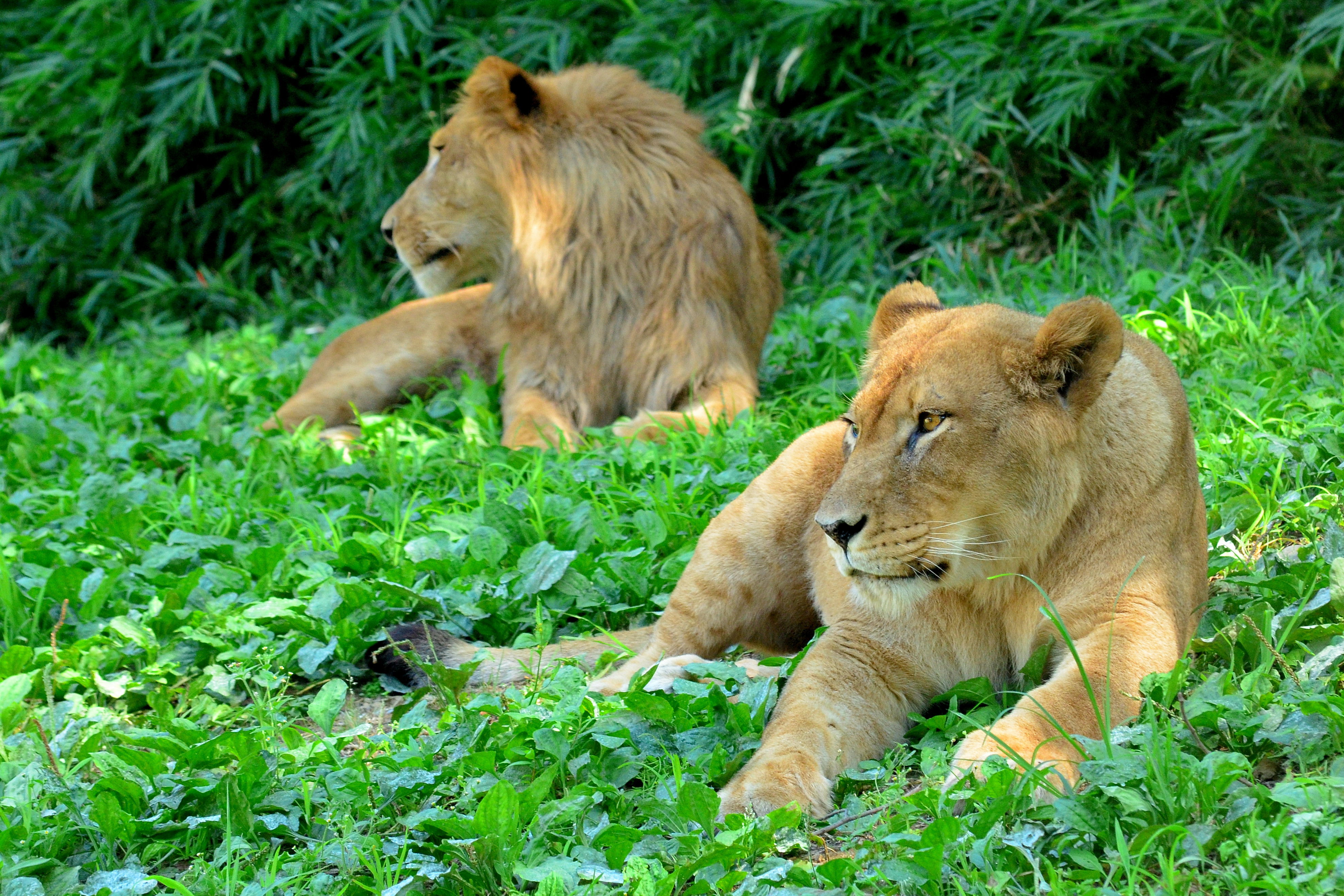 132839 download wallpaper Animals, Lioness, Predator, Grass, Paws screensavers and pictures for free