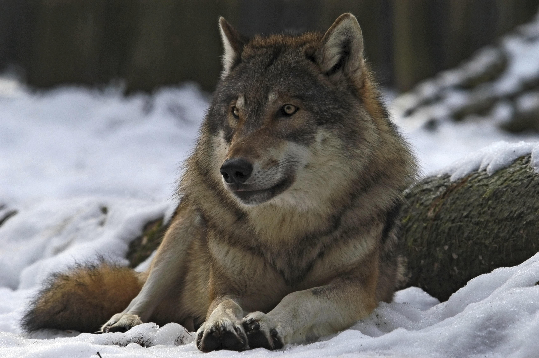 99484 скачать обои Зима, Животные, Лес, Волк, Самец, Вожак - заставки и картинки бесплатно