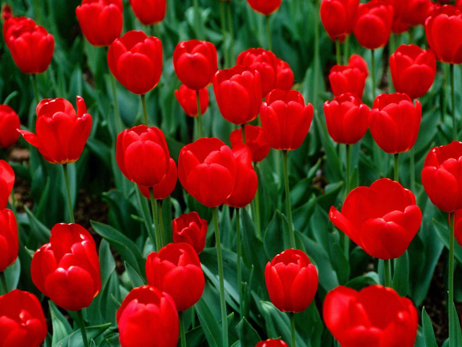 141220 скачать обои Цветы, Зелень, Поле, Природа, Тюльпаны - заставки и картинки бесплатно
