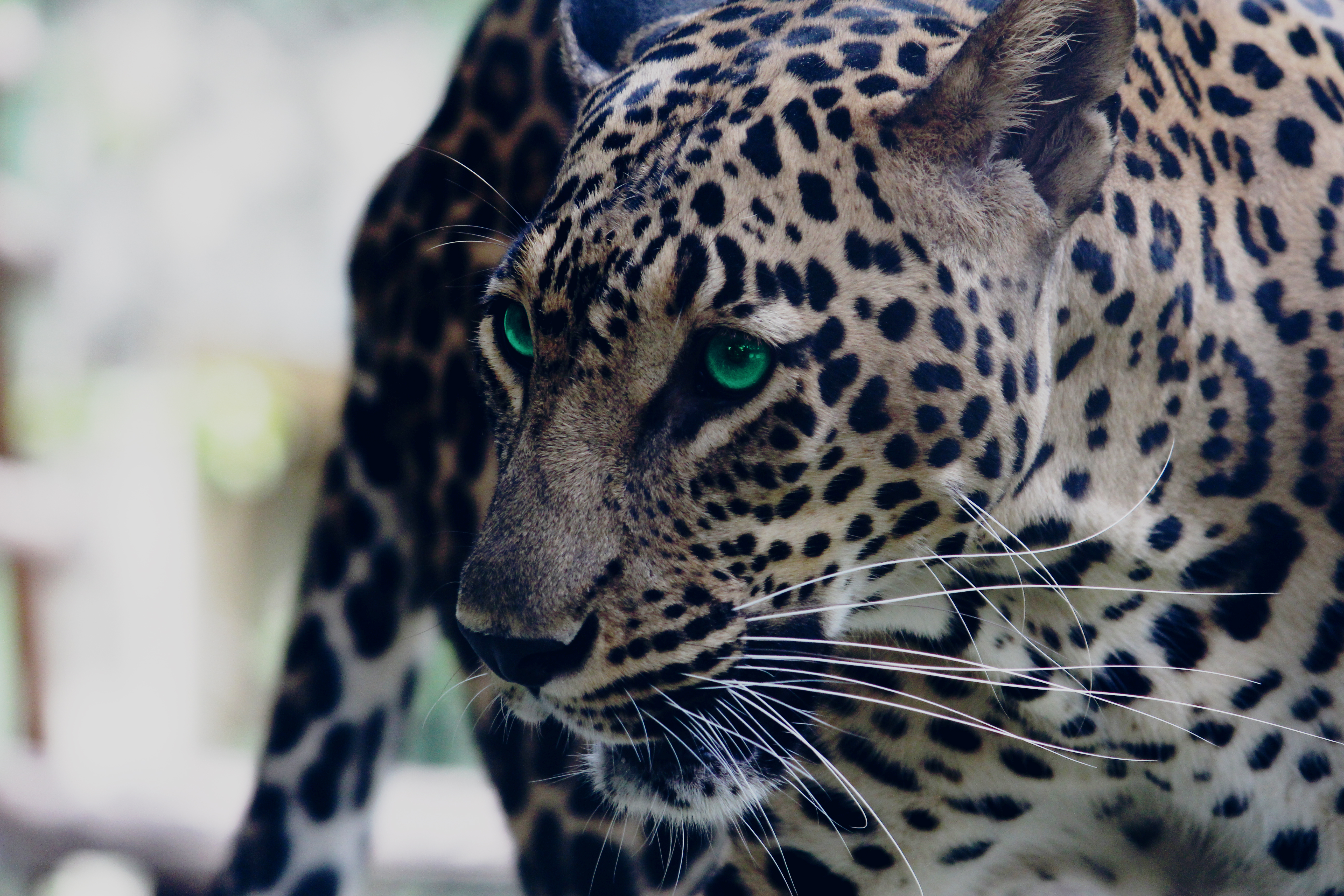 101577 download wallpaper Animals, Leopard, Green Eyed, Green-Eyed, Muzzle, Predator, Sight, Opinion screensavers and pictures for free