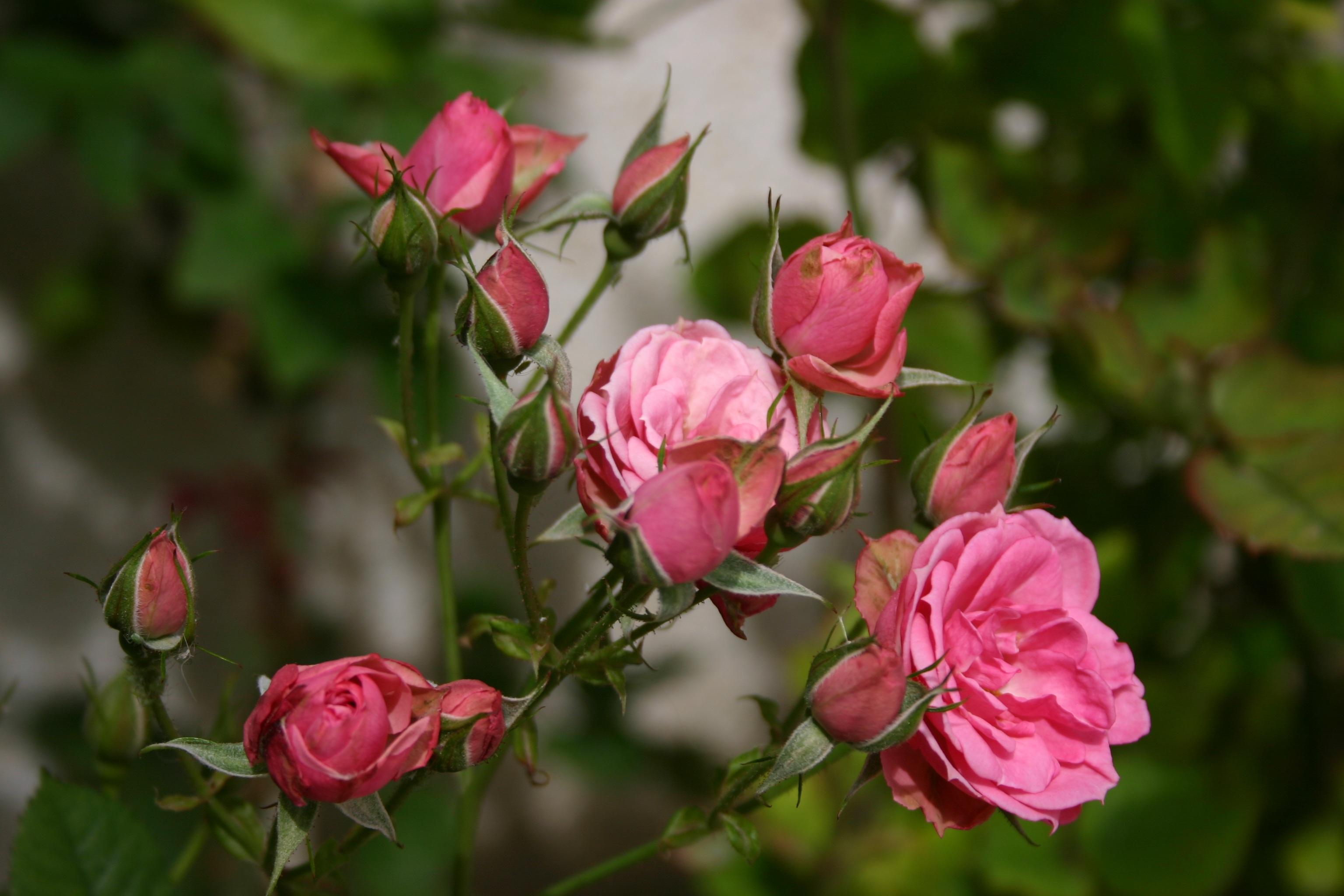 107280 Заставки и Обои Розы на телефон. Скачать Розы, Цветы, Бутоны картинки бесплатно