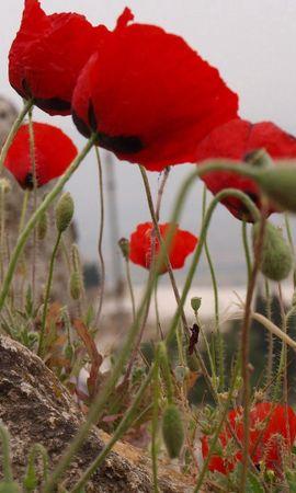 104124 скачать обои Цветы, Маки, Зелень, Камни, Крупный План - заставки и картинки бесплатно