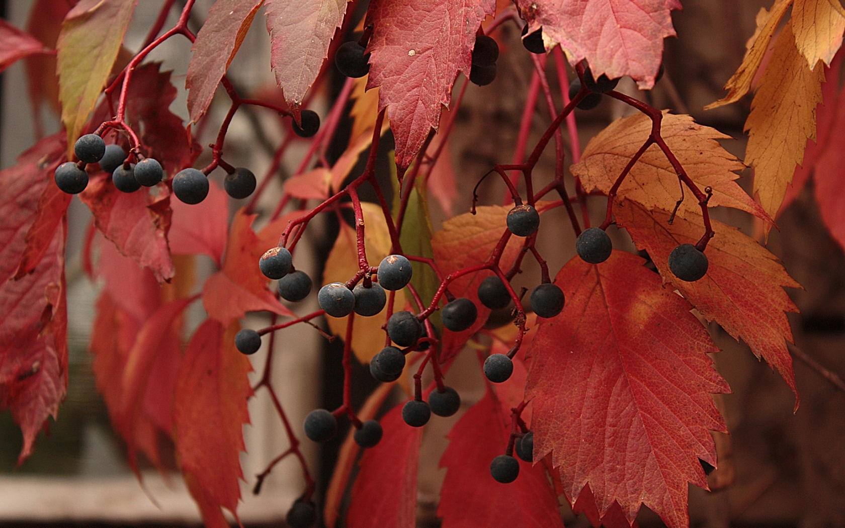 45541 download wallpaper Plants, Leaves, Berries screensavers and pictures for free