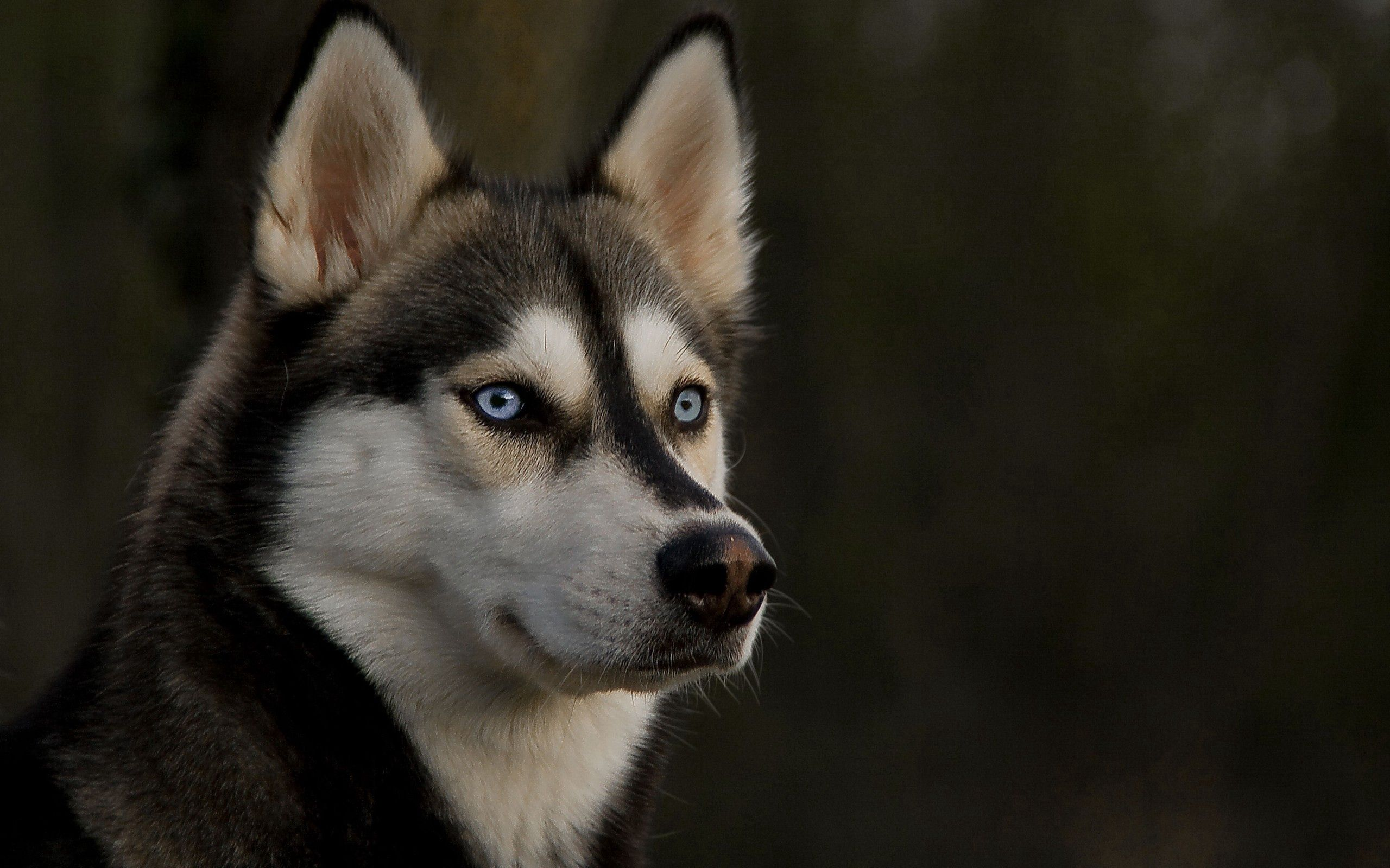64253 Screensavers and Wallpapers Husky for phone. Download Animals, Dog, Muzzle, Sight, Opinion, Husky, Haska pictures for free